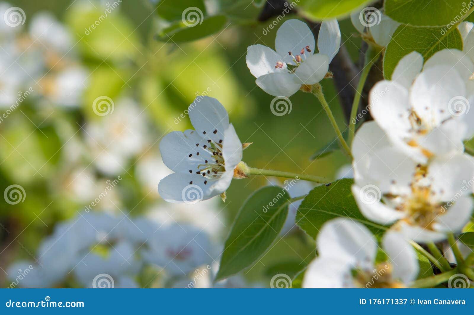 Foto Fiori Bianchi.Pear Flowers With Bee Fiori Bianchi Di Pero Con Ape Stock Image