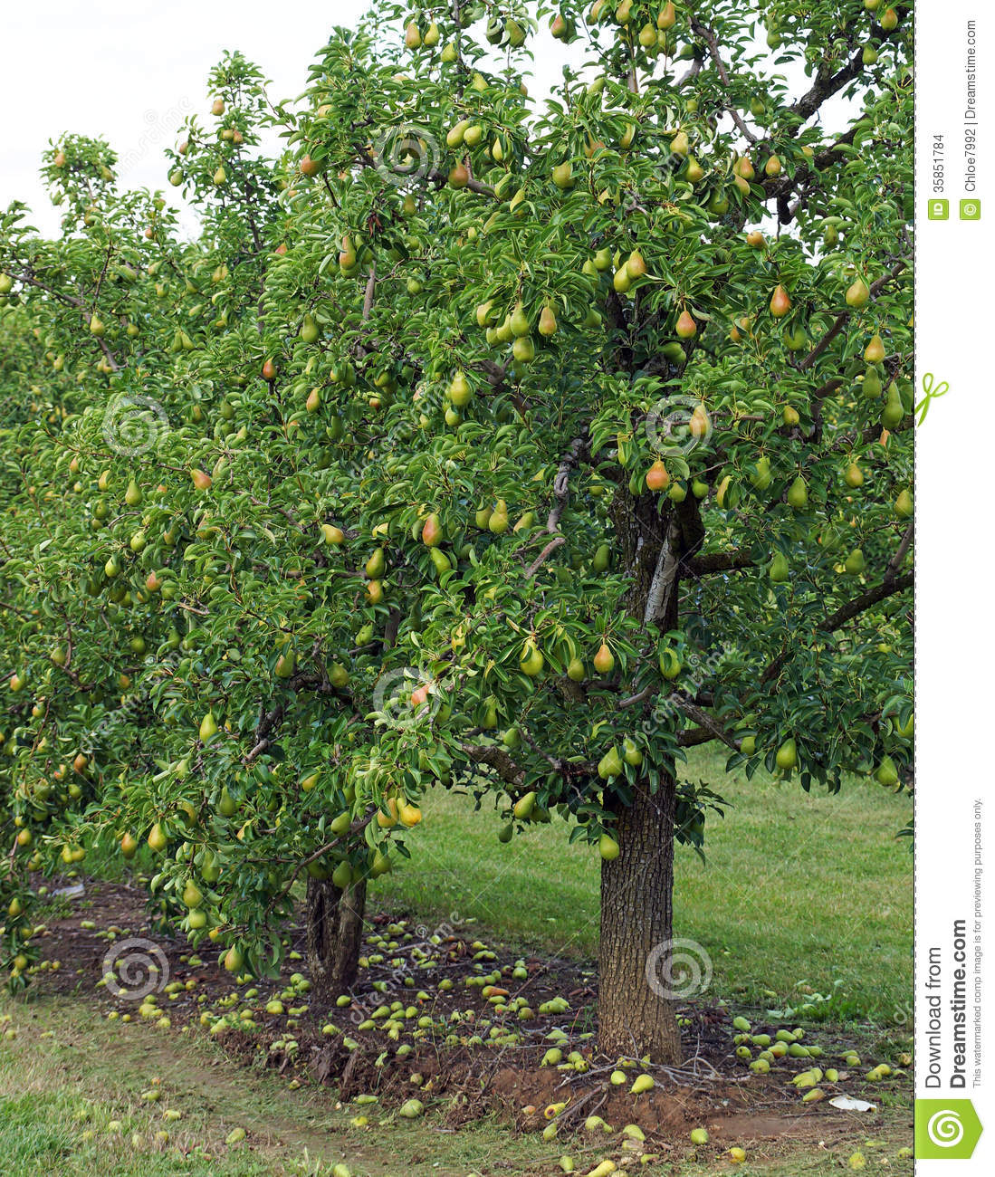 Peartree Apartments: Pear Orchard Stock Photo. Image Of Nature, Rain, Leaf