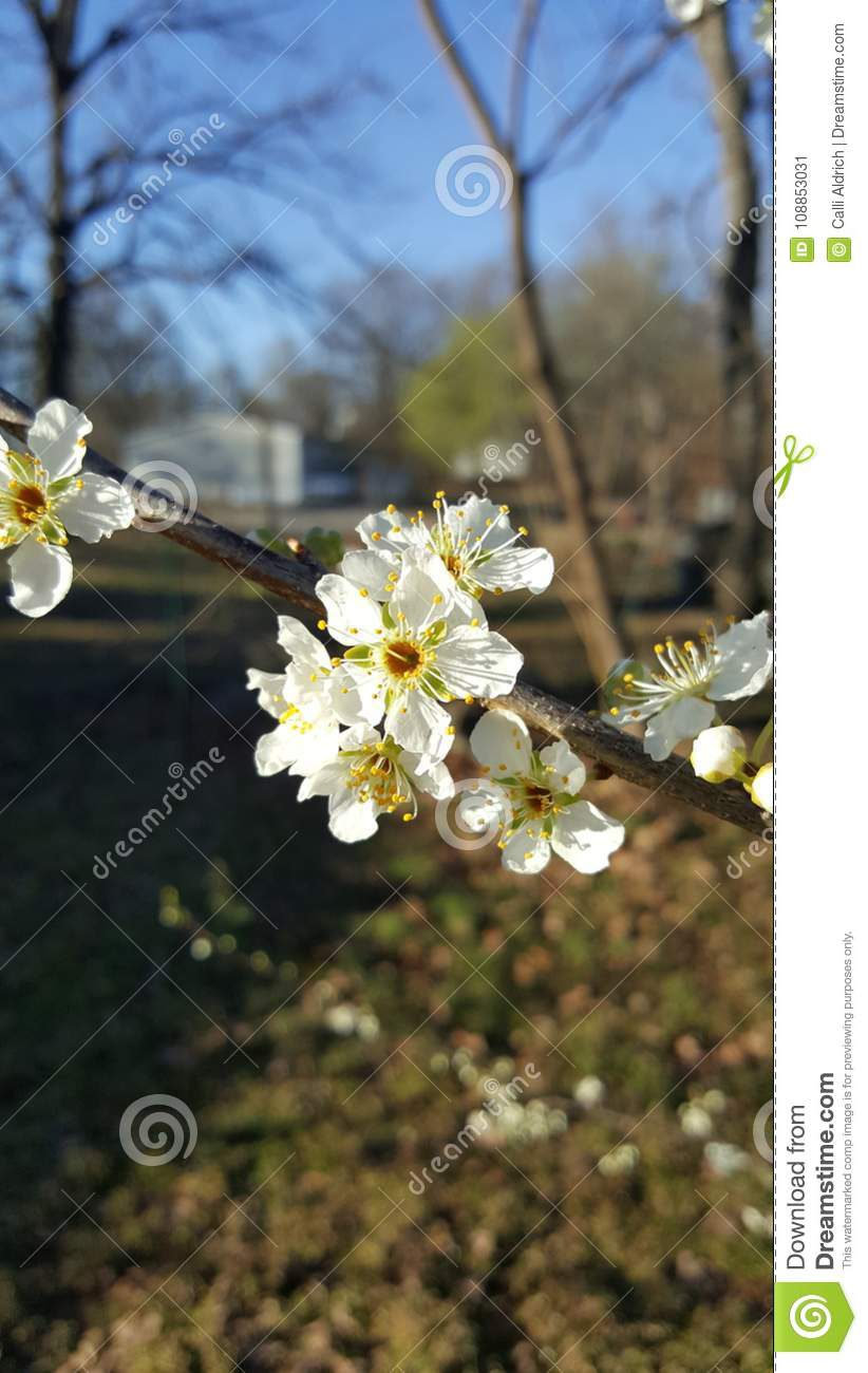 Pear Flowers Stock Image Image Of Tree White Flowers 108853031