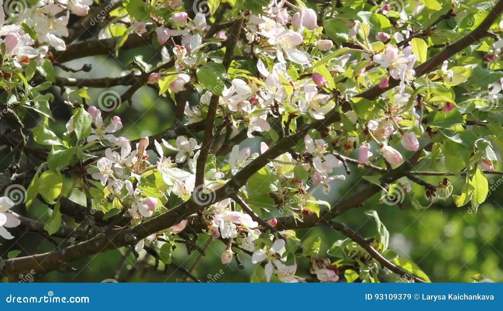 The pear tree blooms white flowers lush flowering gardens stock the pear tree blooms white flowers lush flowering gardens stock video video of color flower 93109379 mightylinksfo
