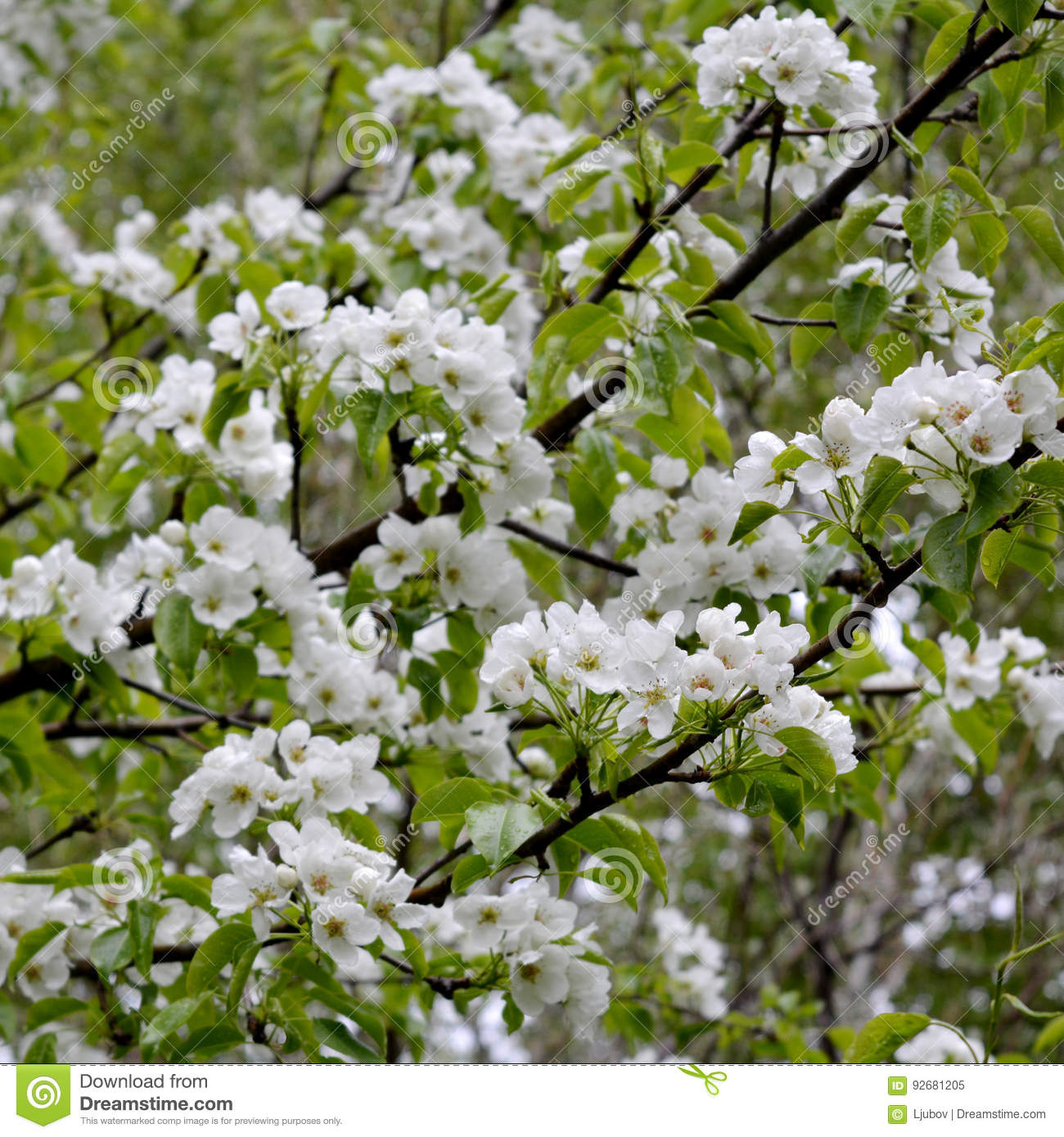 Pear Tree Blossom Branches With White Flowers Stock Image Image
