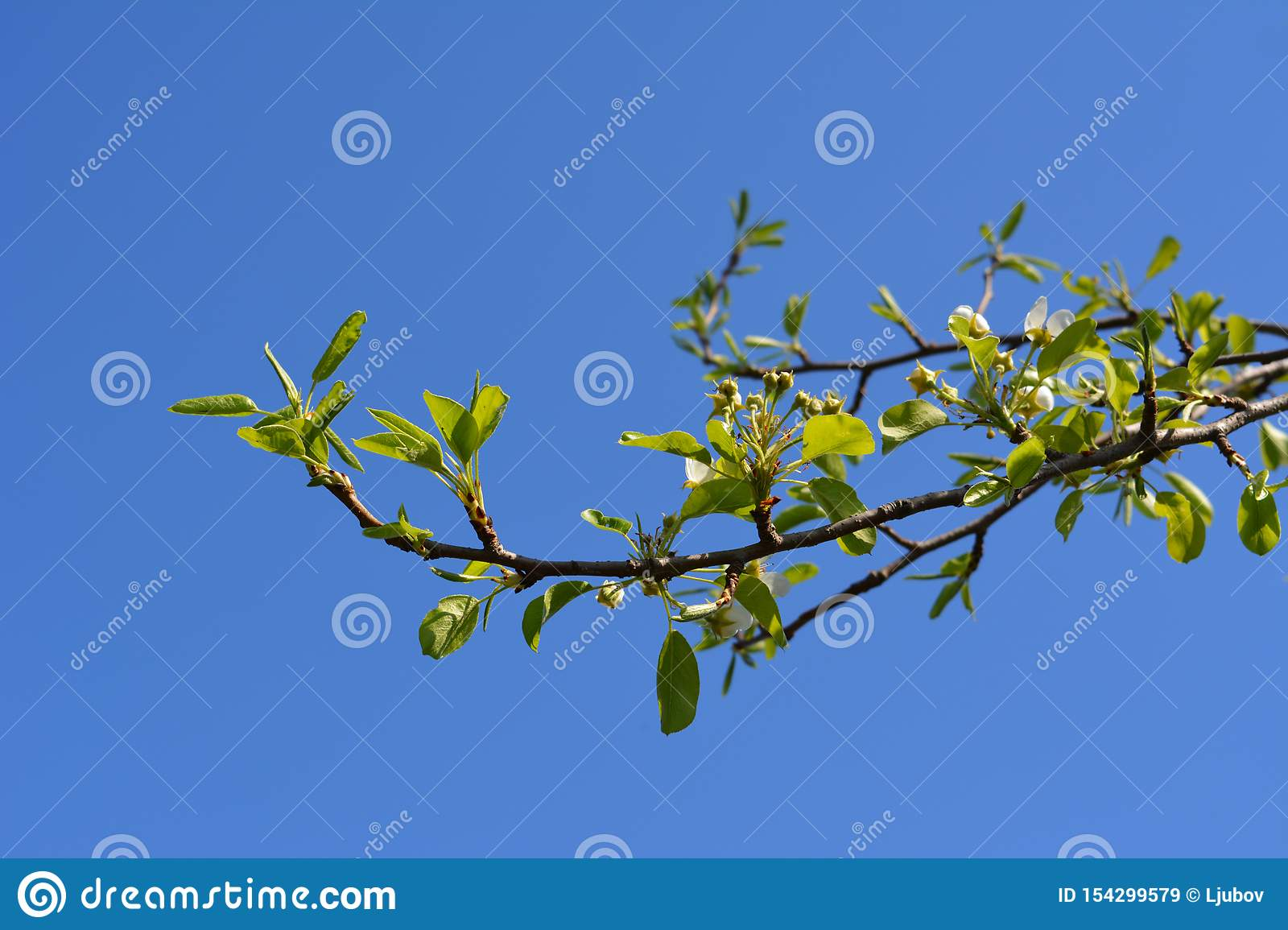 Pear tree branch with buds and fresh green leaves against clear blue sky