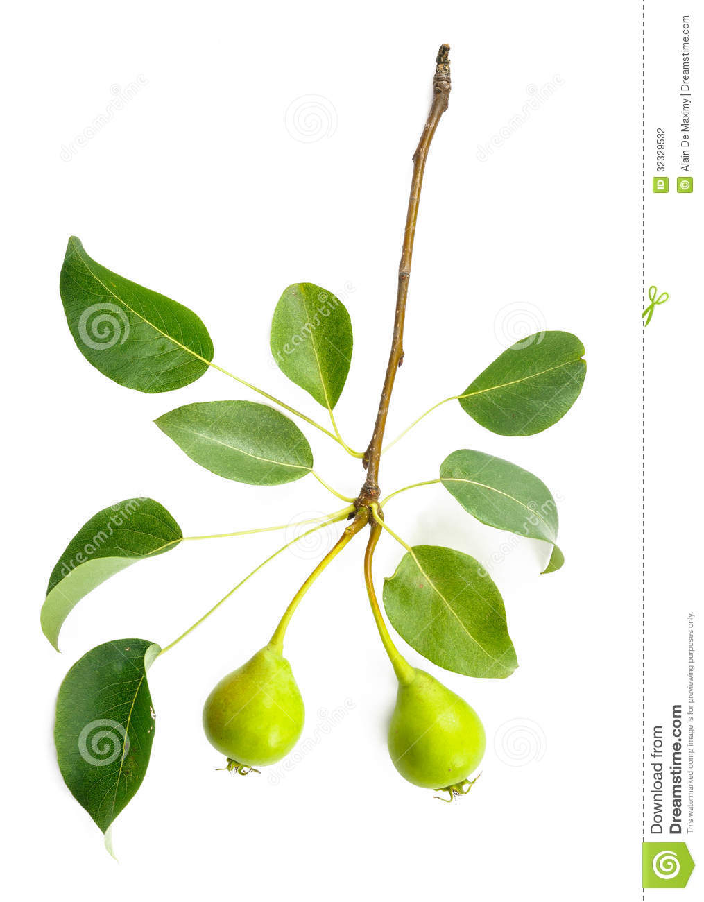 Pear tree branch with leaves and two little pears Tree Branch With Leaves
