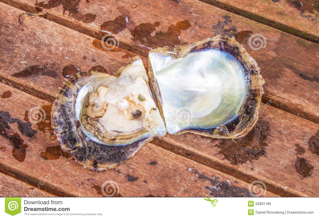 pearl in a opened oyster, on wooden background. Open Oyster Shell With Pearl