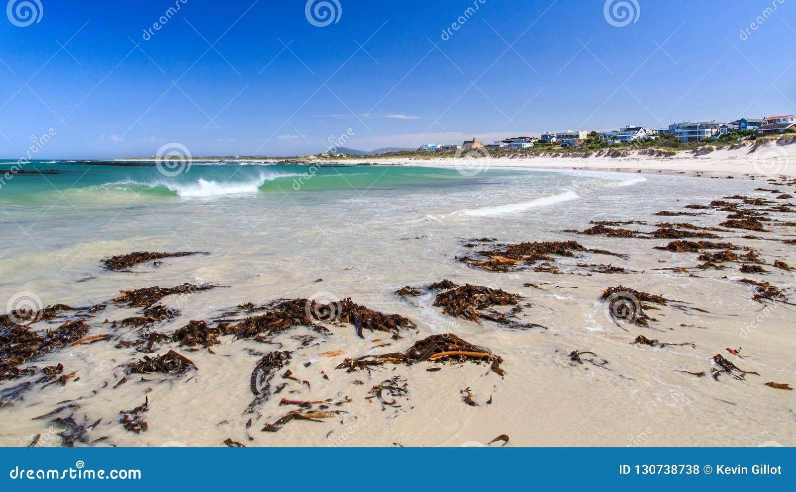 Kelp on the beach - Pearly beach - South Africa