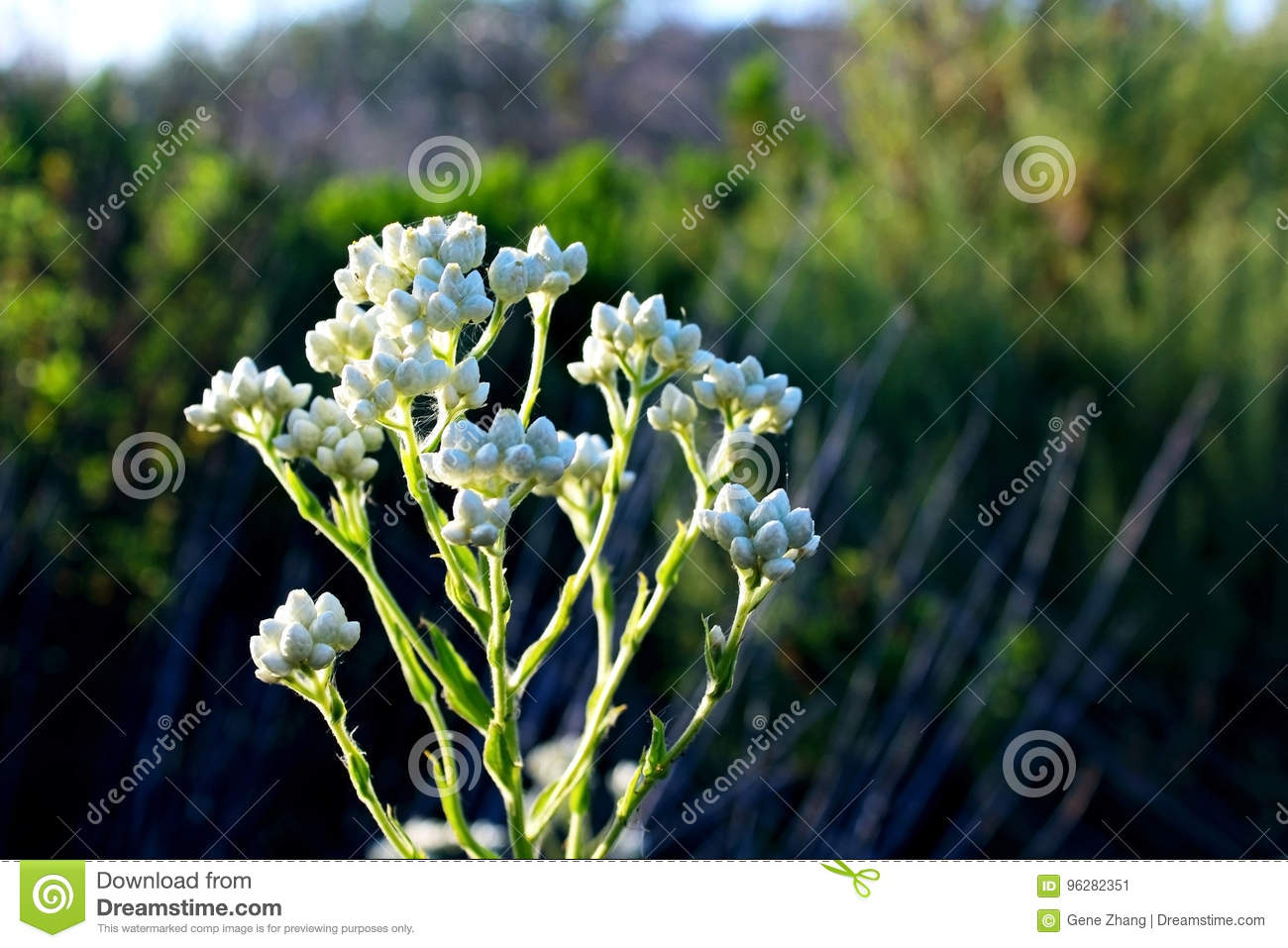 Pearly everlasting flowers in bloom stock image image of 2017 pearly everlasting flowers in bloom izmirmasajfo