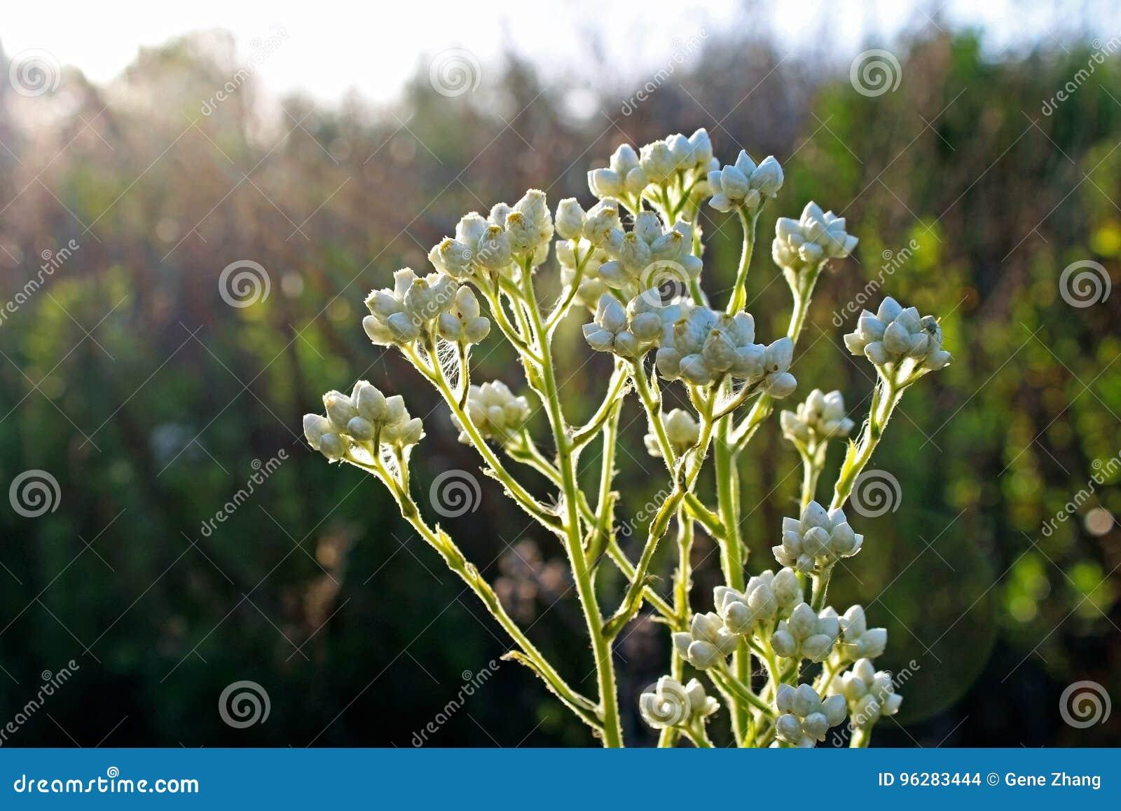 Pearly everlasting flowers in bloom stock photo image of spring pearly everlasting flowers are in full bloom under blue sky in 2017 california super bloom izmirmasajfo
