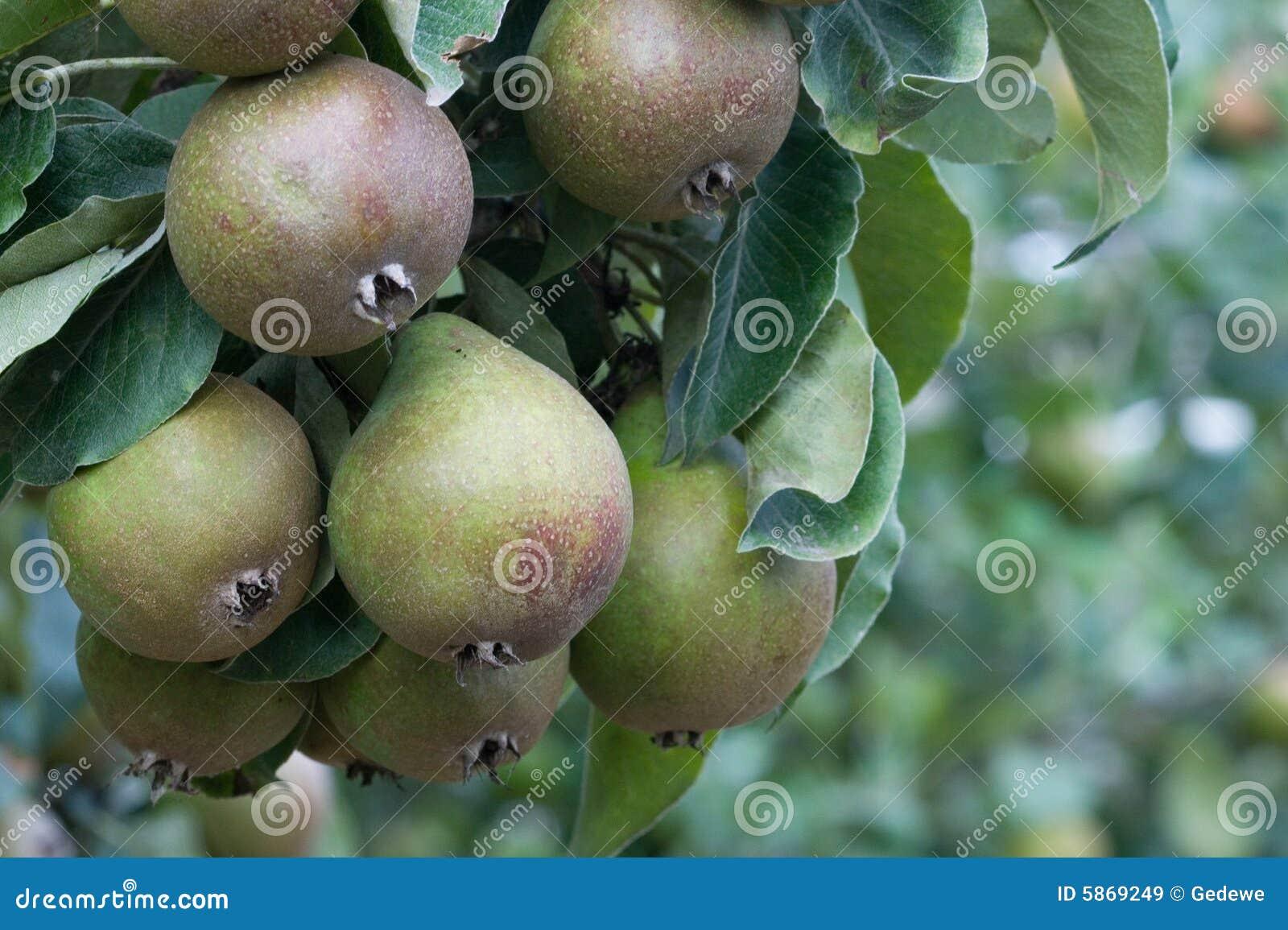 Pearsseckel