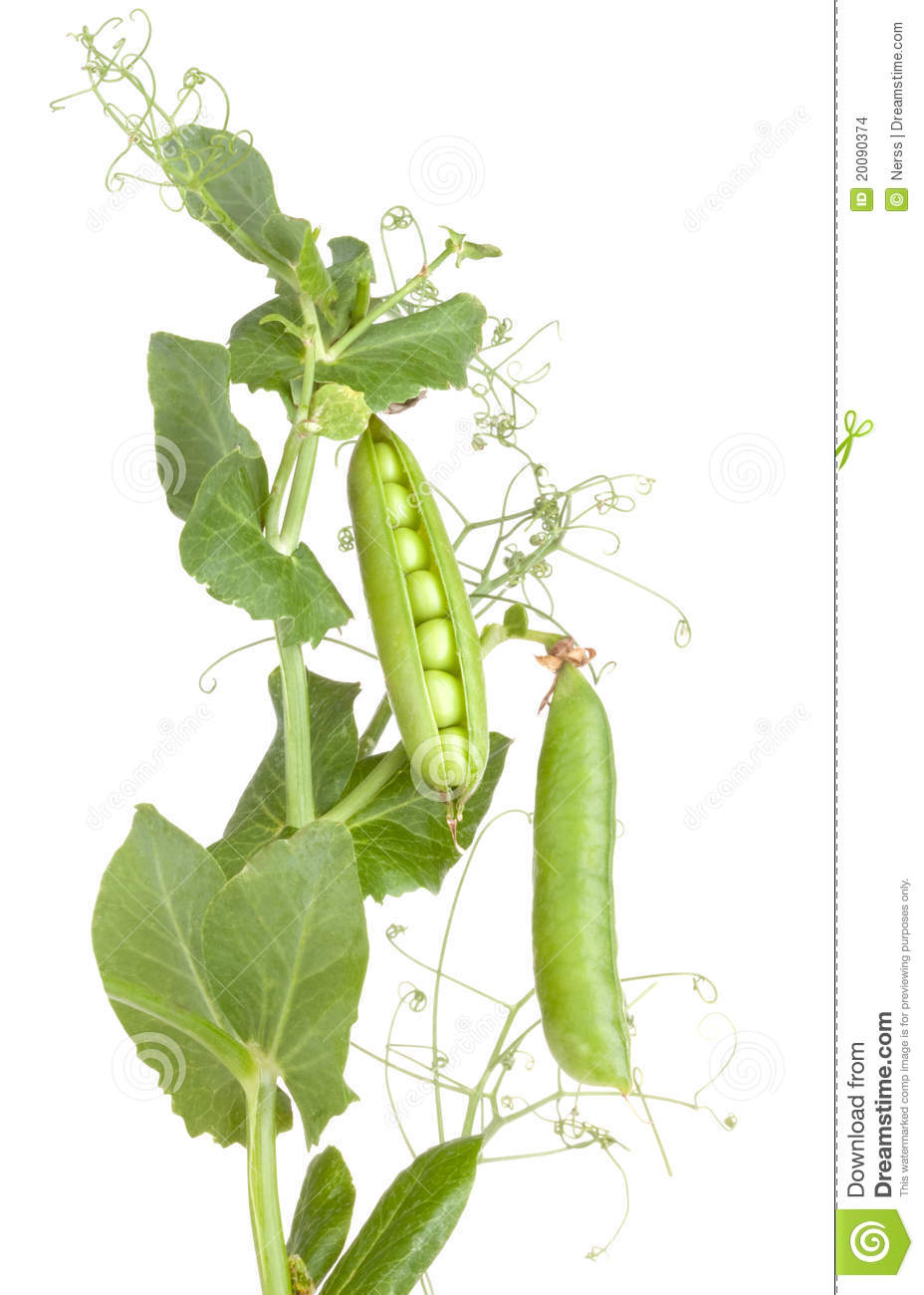 peas stock photo image of peas fresh healthy sweet
