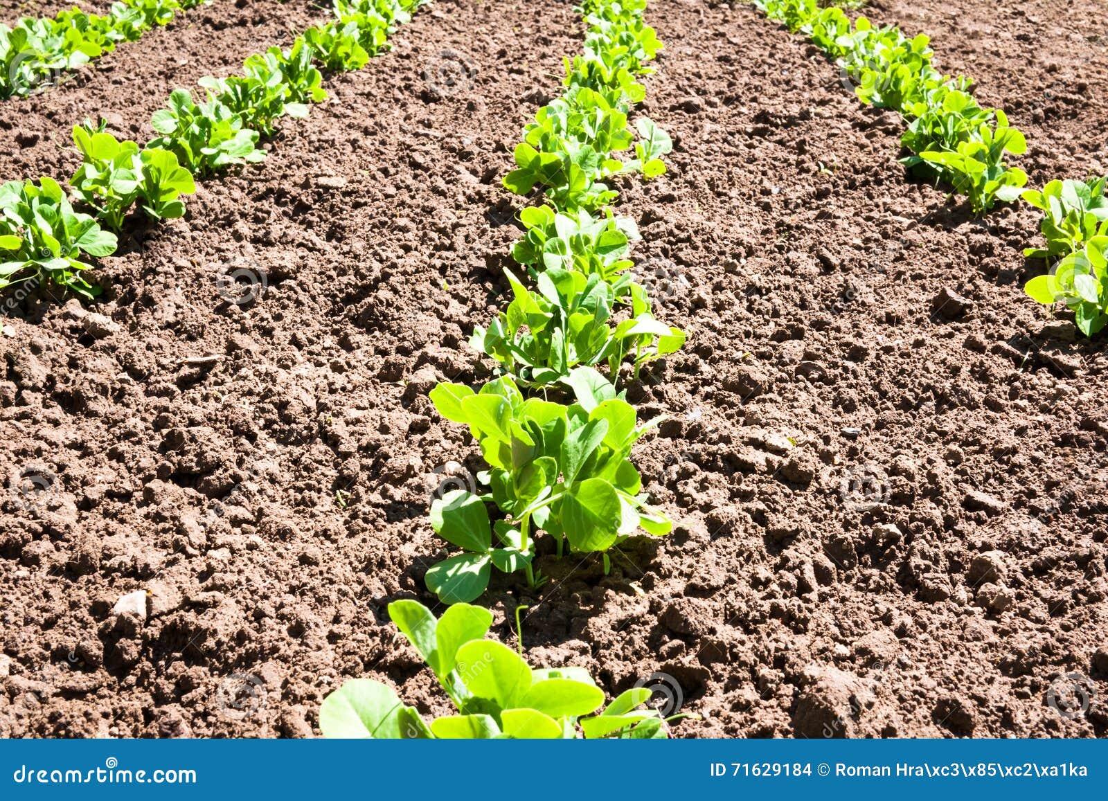 Peas home plantation stock photo. Image of farming, ground - 71629184