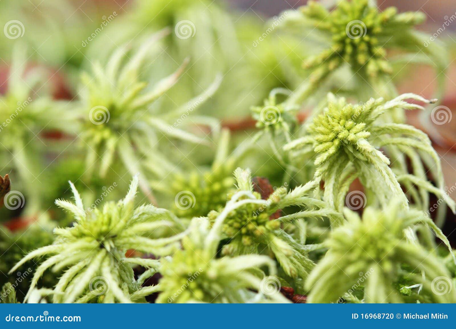 how to grow peat moss