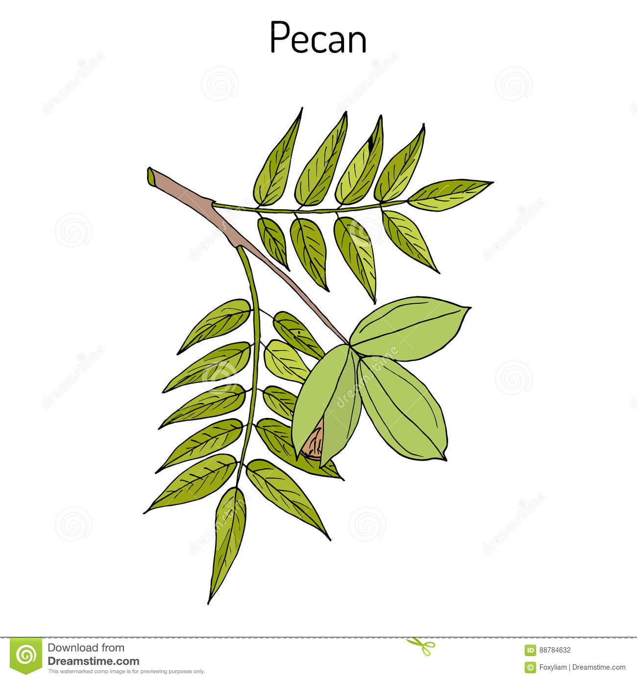 pecan carya illinoinensis nuts with leaves stock vector