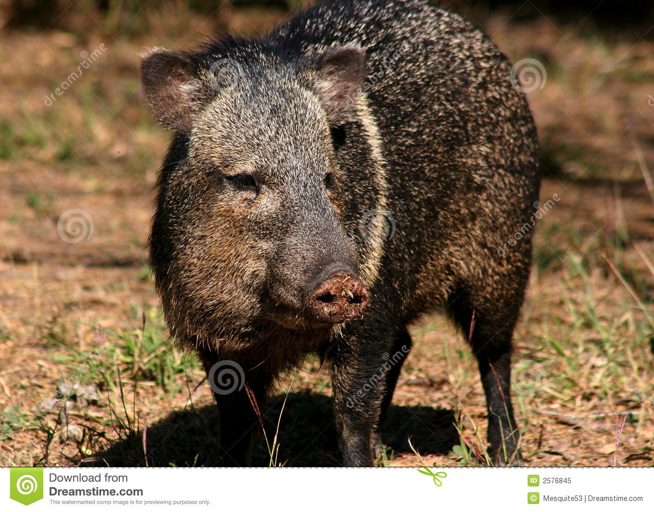 Peccary colleté