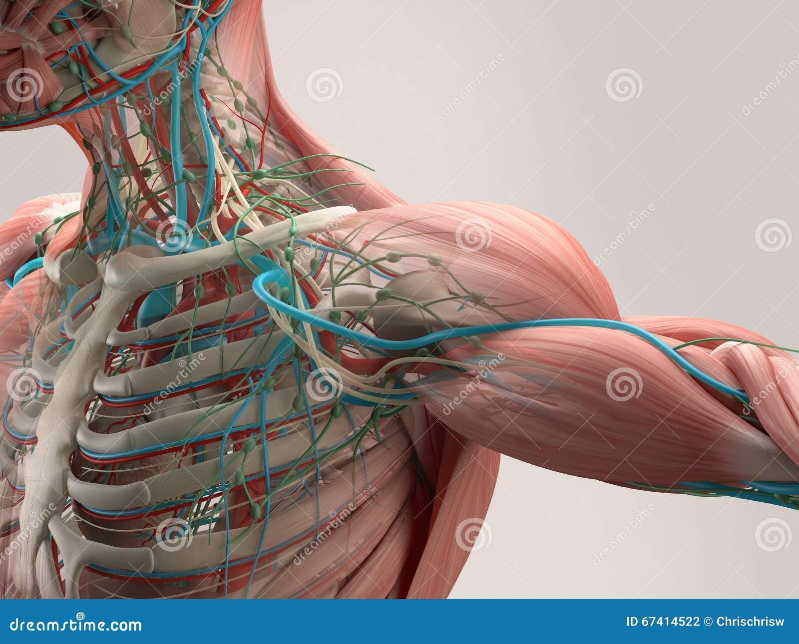 Pecho humano de la anatomía del ángulo bajo Estructura del hueso venas En fondo llano del estudio Detalle humano de la anatomía d