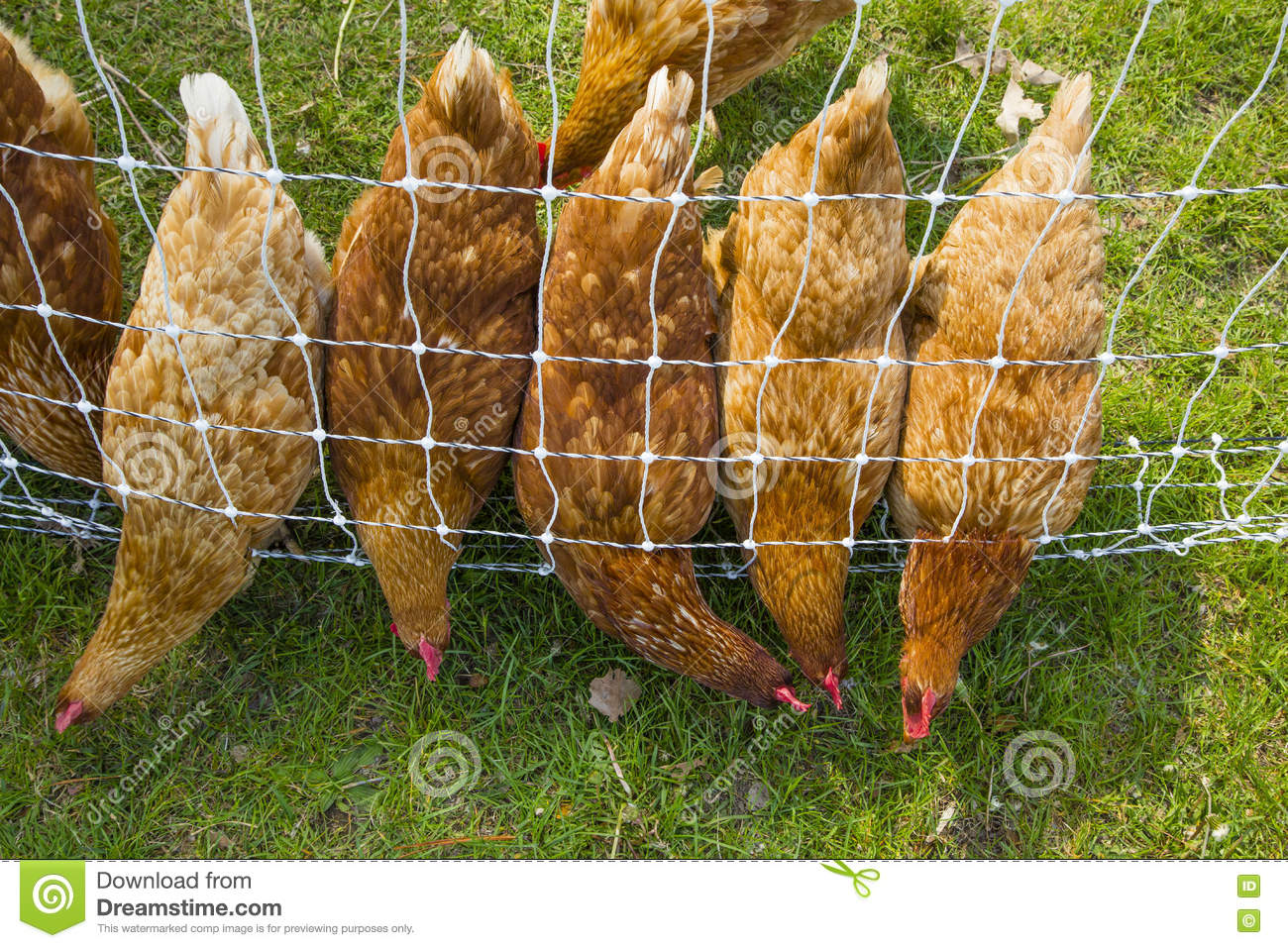 Pecking Order Chickens Lined Up Looking For Food Stock Image Rhode Island Wiring A Line Of Red Leaning Thru Wire Fence Simultaneously In The Grass