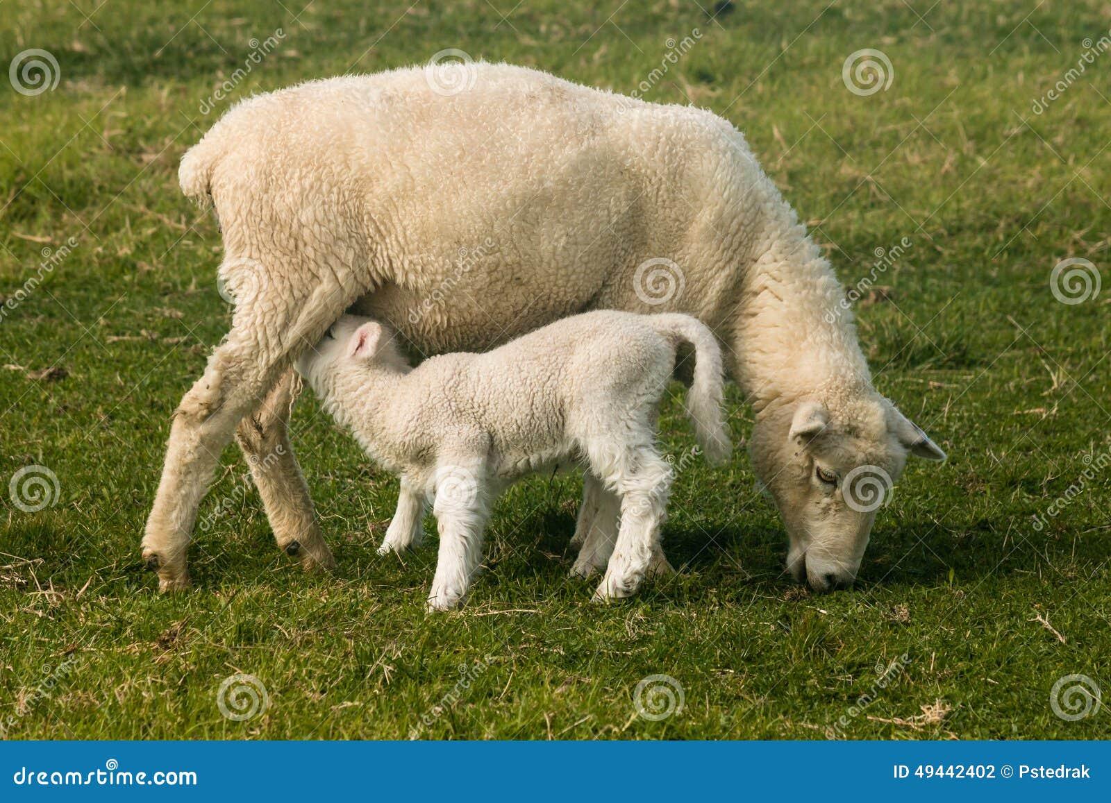 Pecora con l agnello del lattante