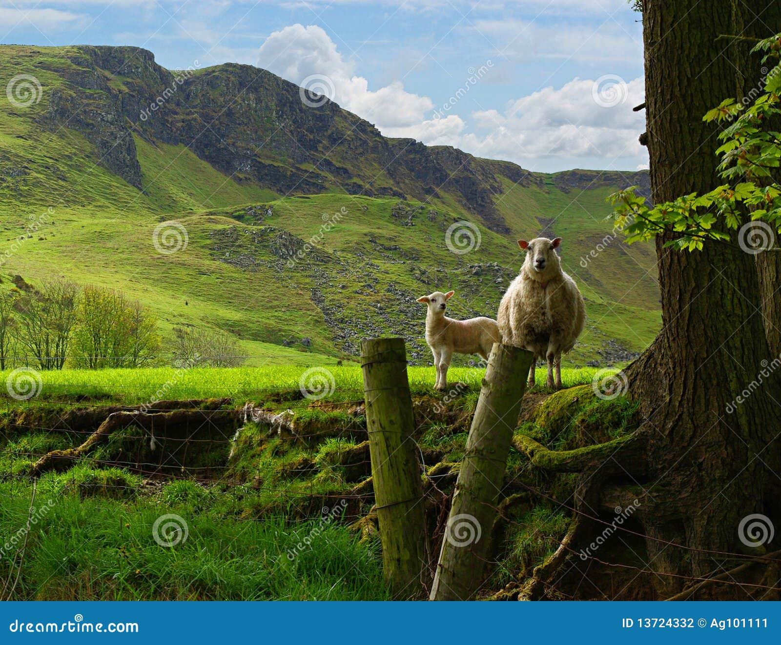 Pecora ed agnello