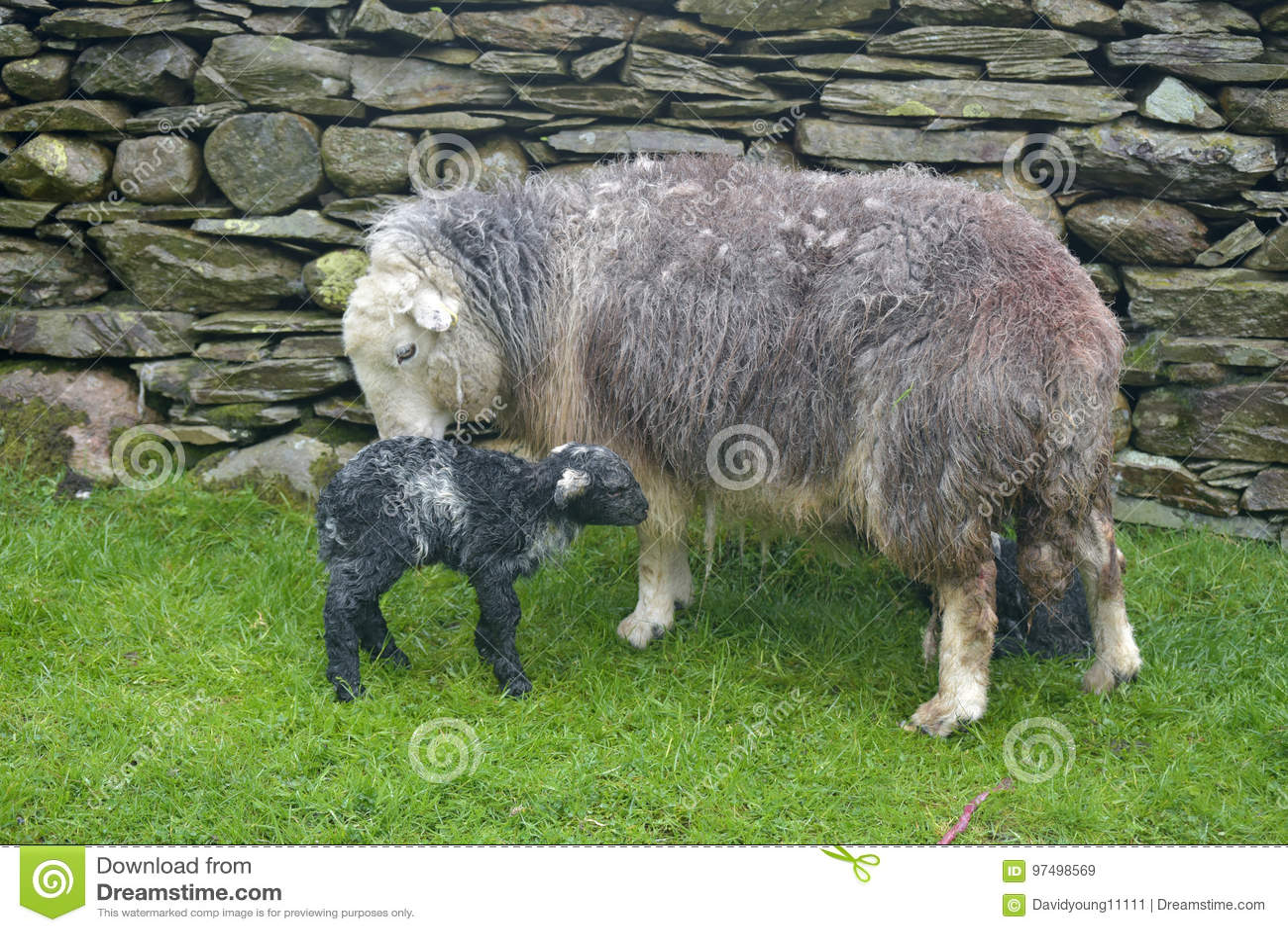 Pecora ed agnello neonato, Coniston
