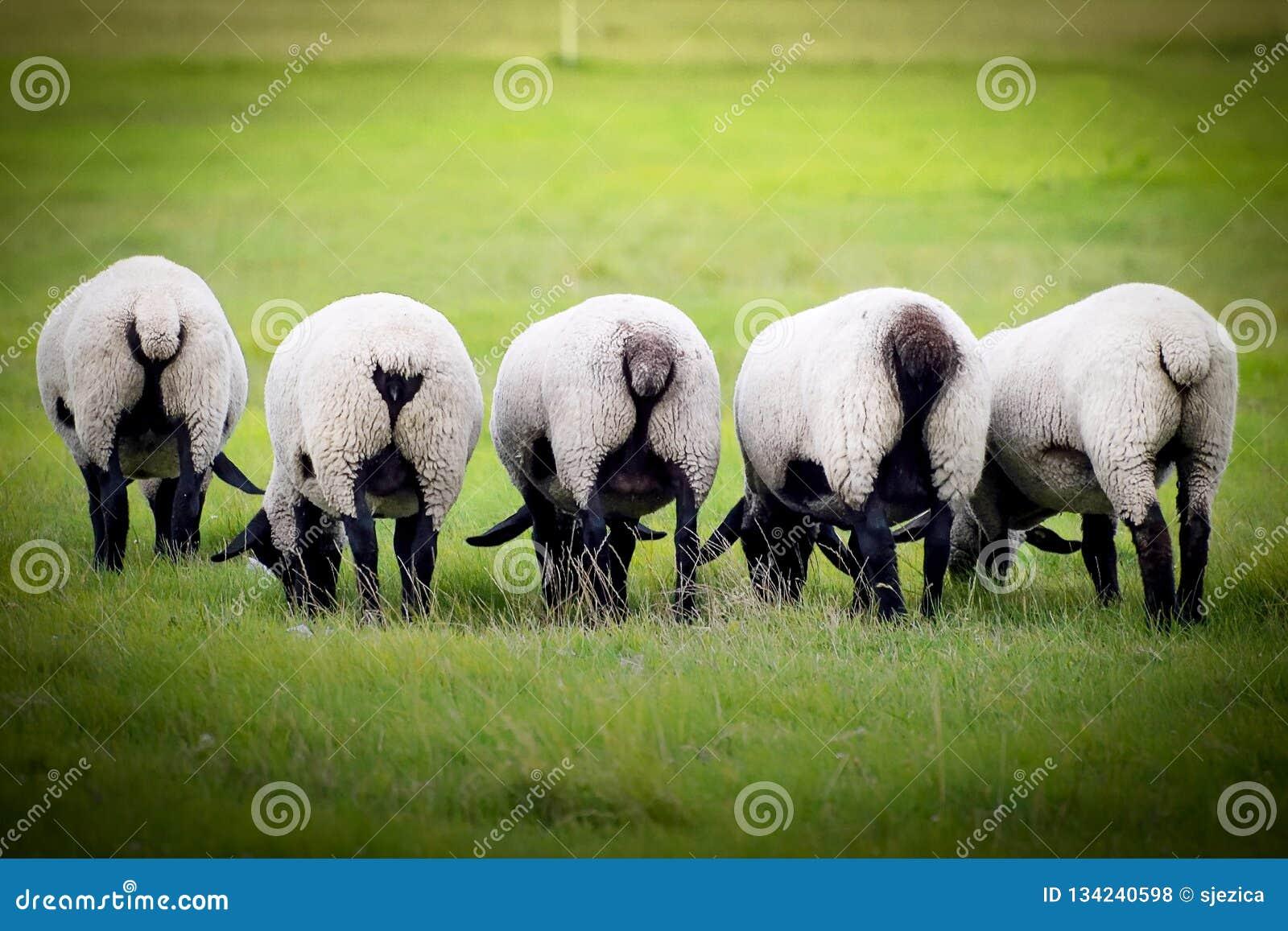 Pecora su un prato Pecora sull azienda agricola che mangia erba