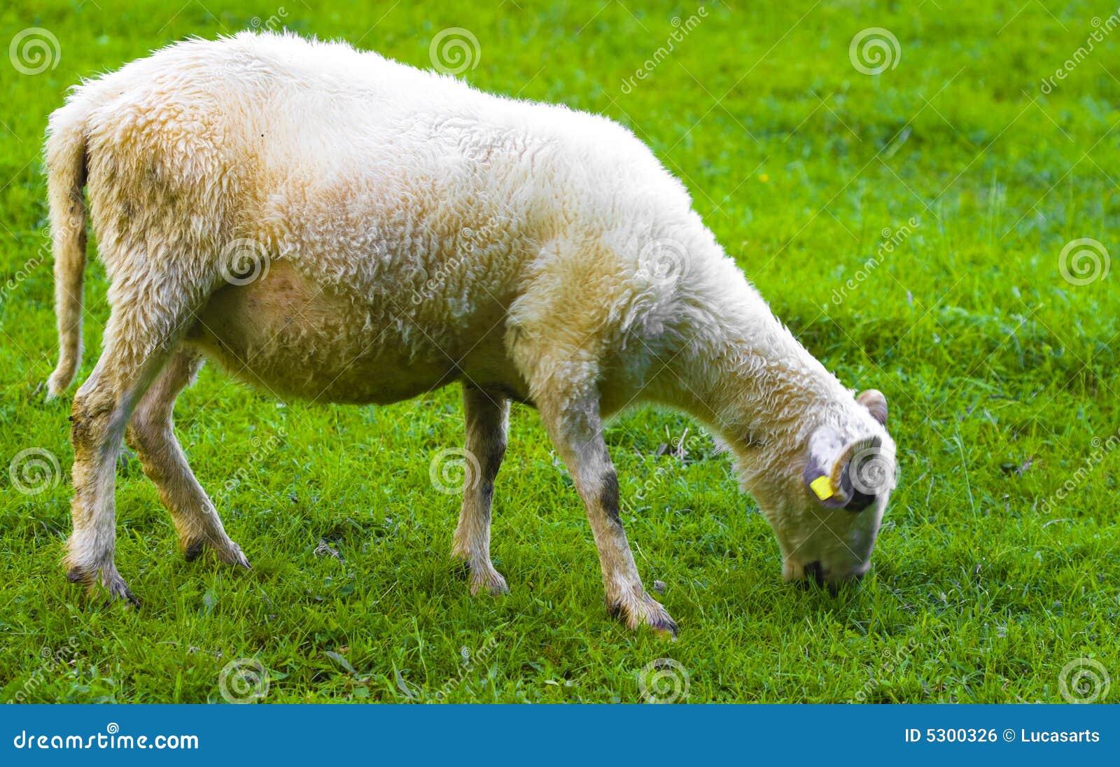 Download Pecore fotografia stock. Immagine di agnelli, campi, erba - 5300326