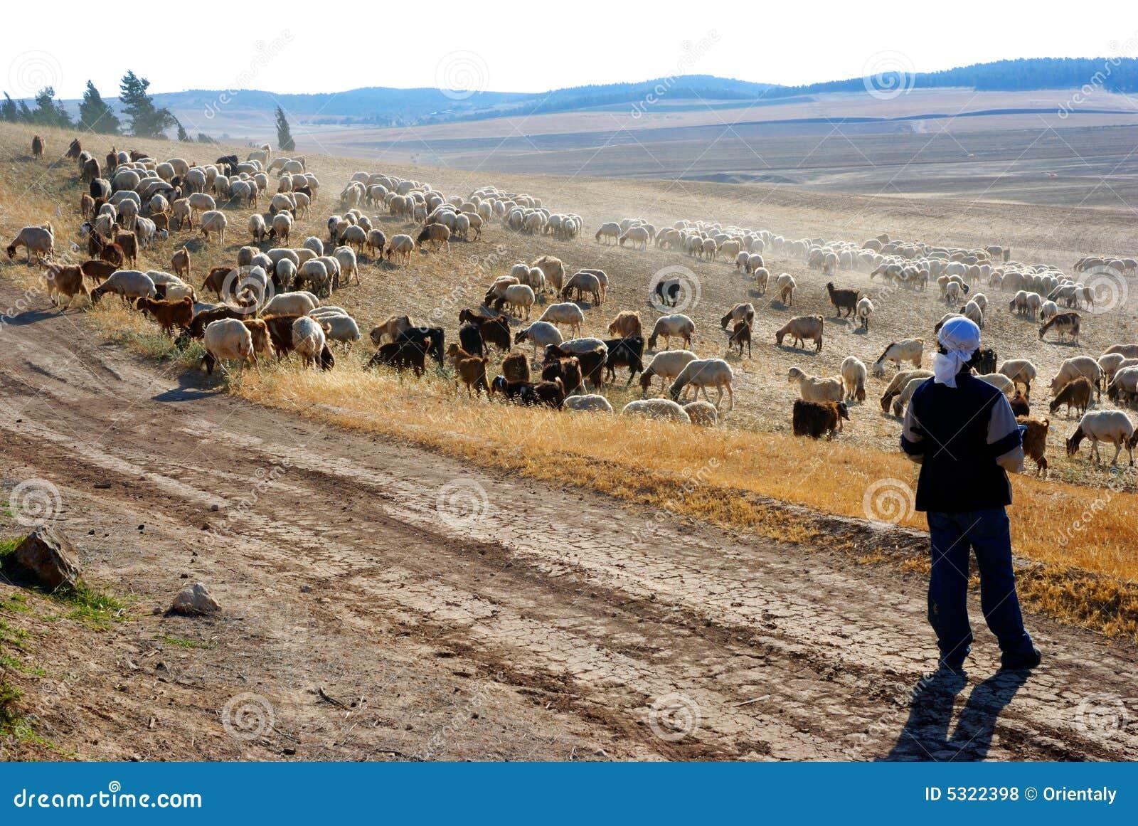 Download Pecore fotografia stock. Immagine di trattore, gregge - 5322398