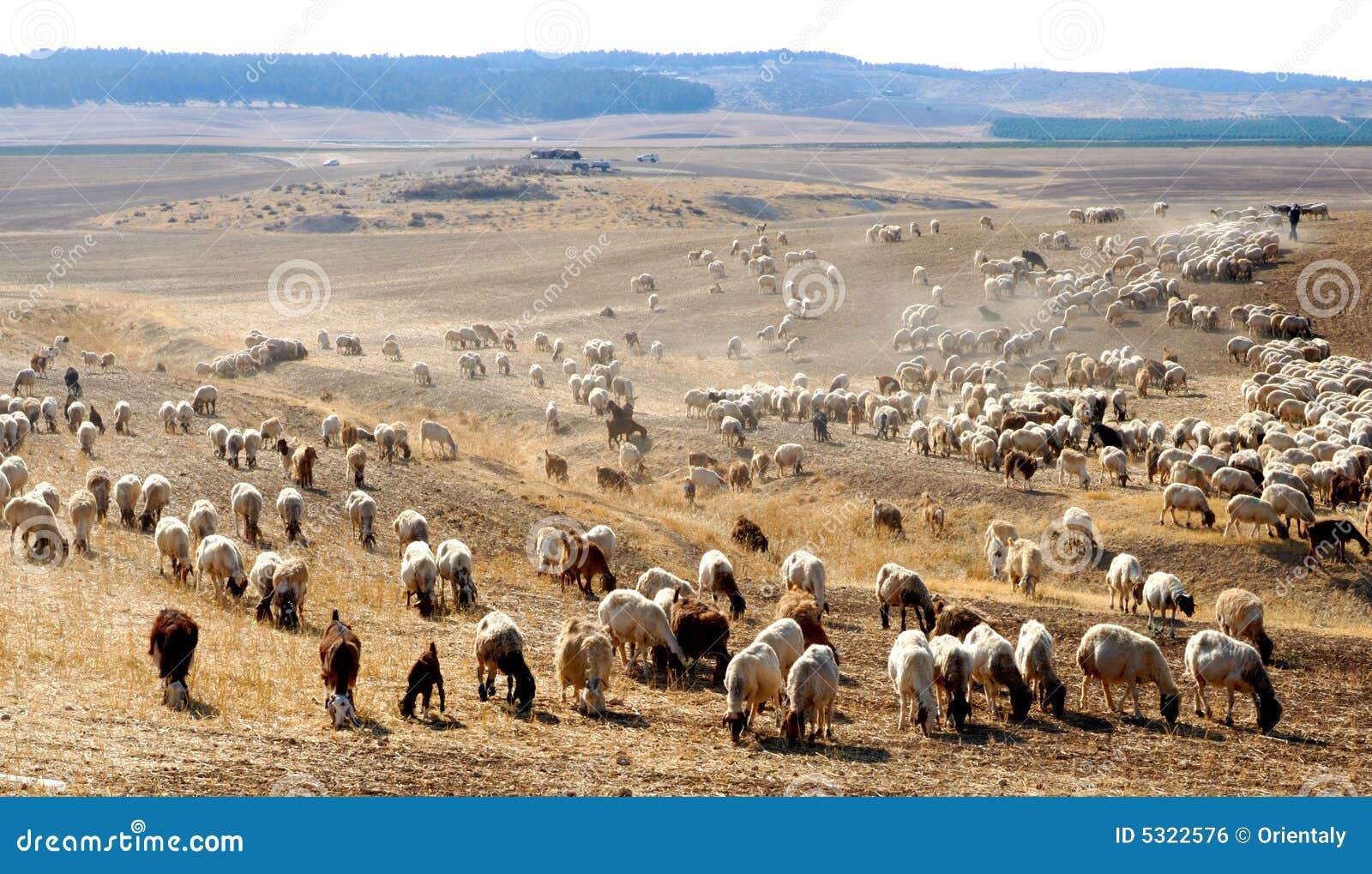 Download Pecore fotografia stock. Immagine di mammifero, trattore - 5322576
