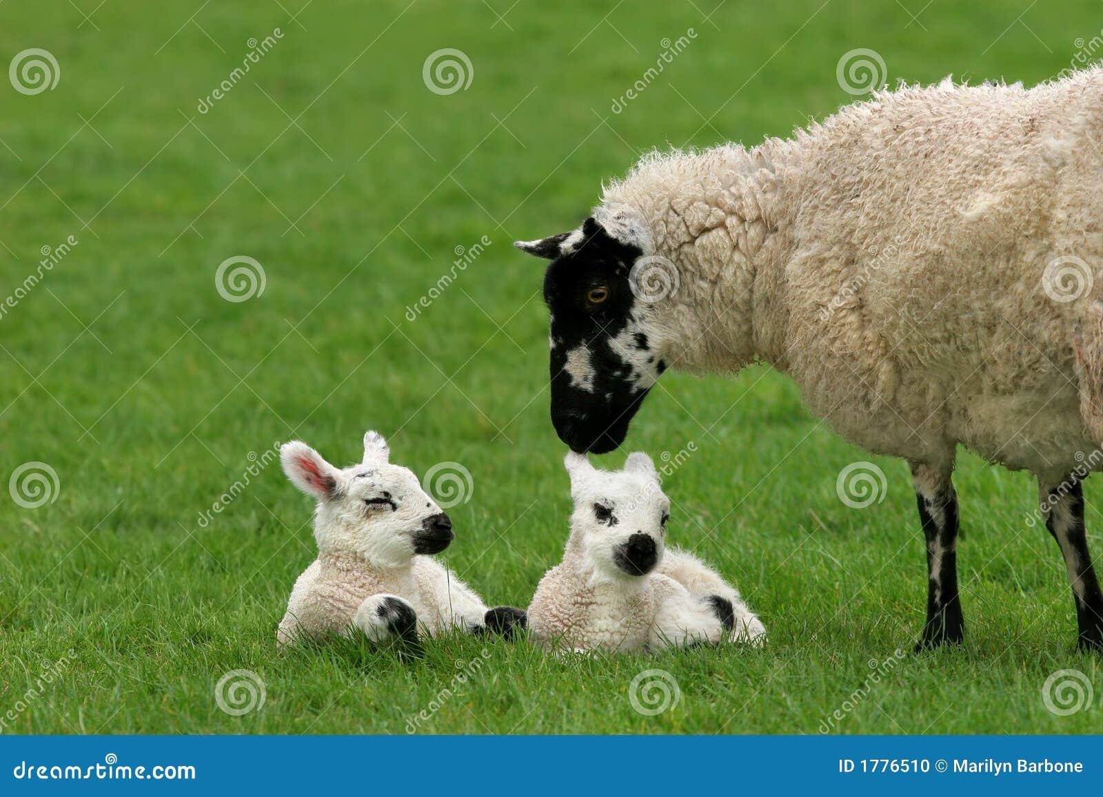 Pecore amorose della madre con gli agnelli gemellare