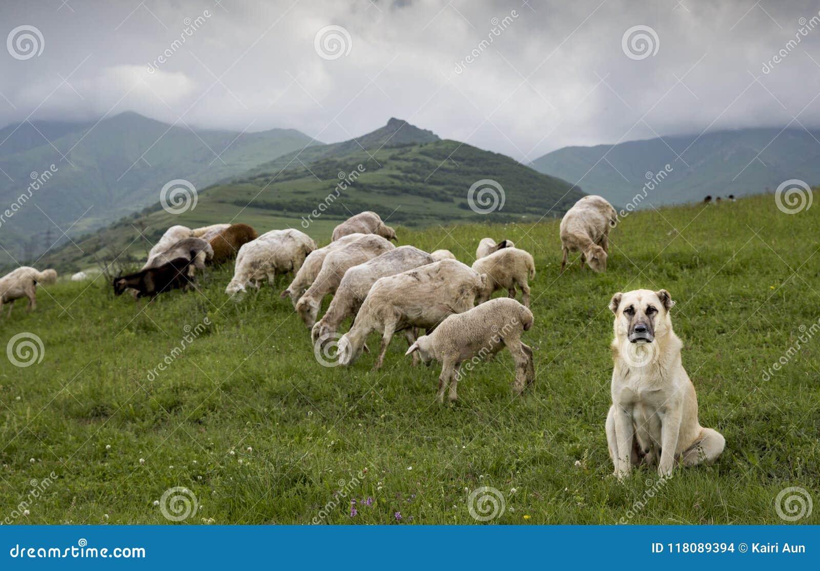 Pecore in Armenia rurale