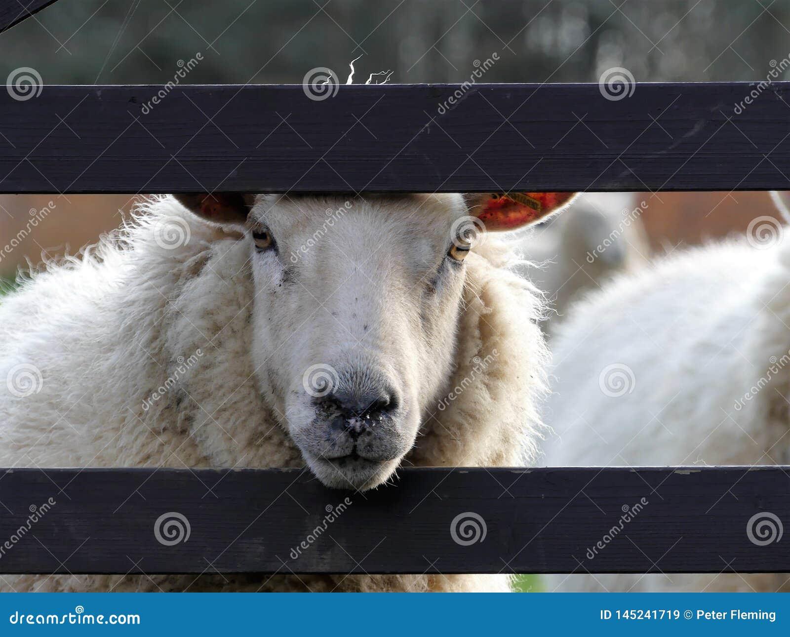 Pecore bianche che scrutano tramite il portone di legno il giorno di molla