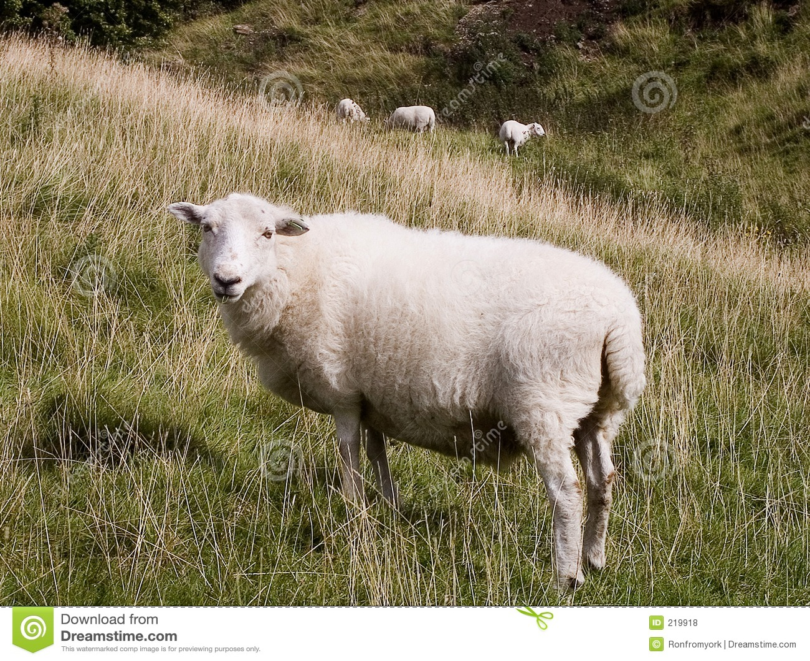 Pecore che pascono