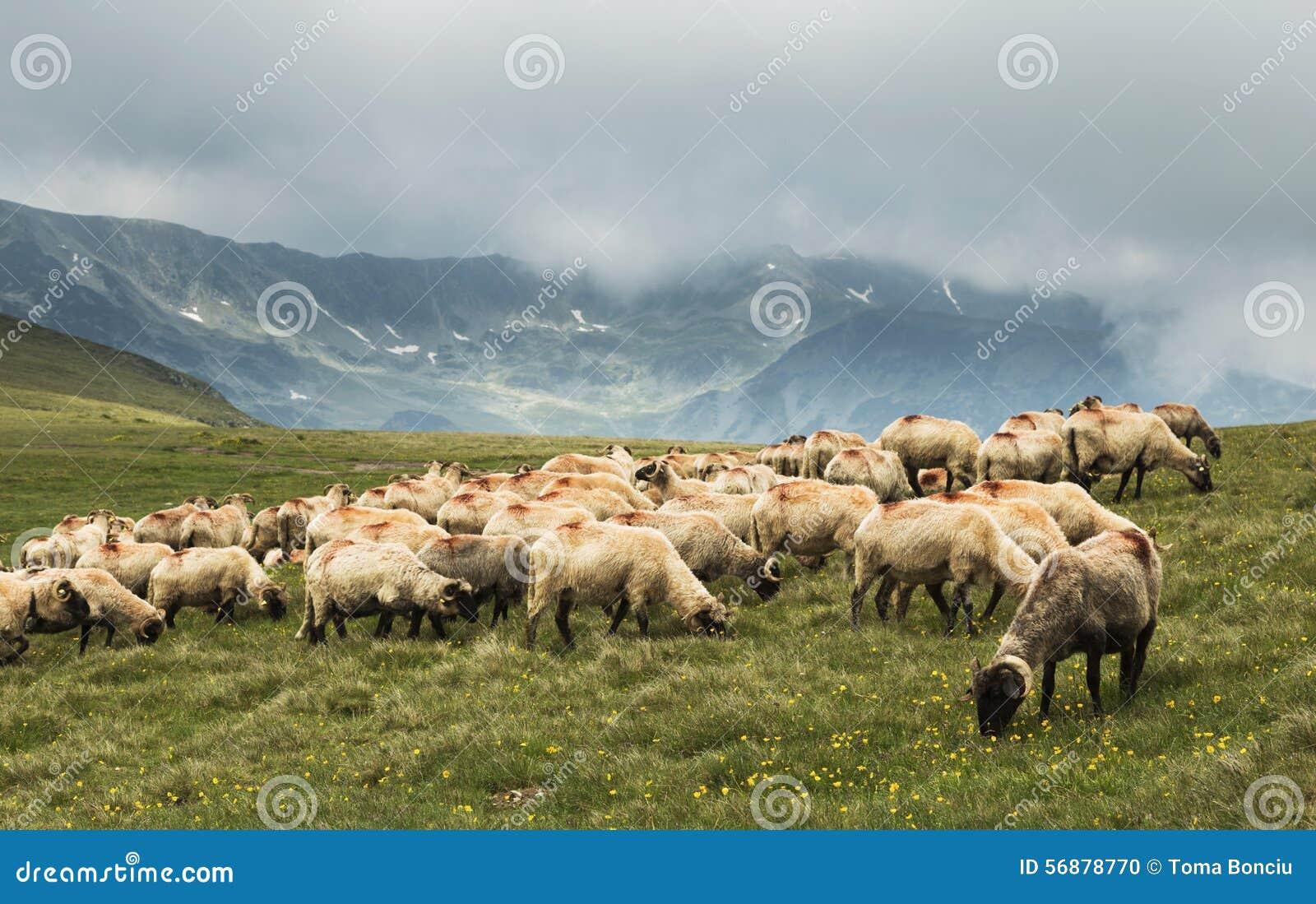 Pecore che scendono la montagna