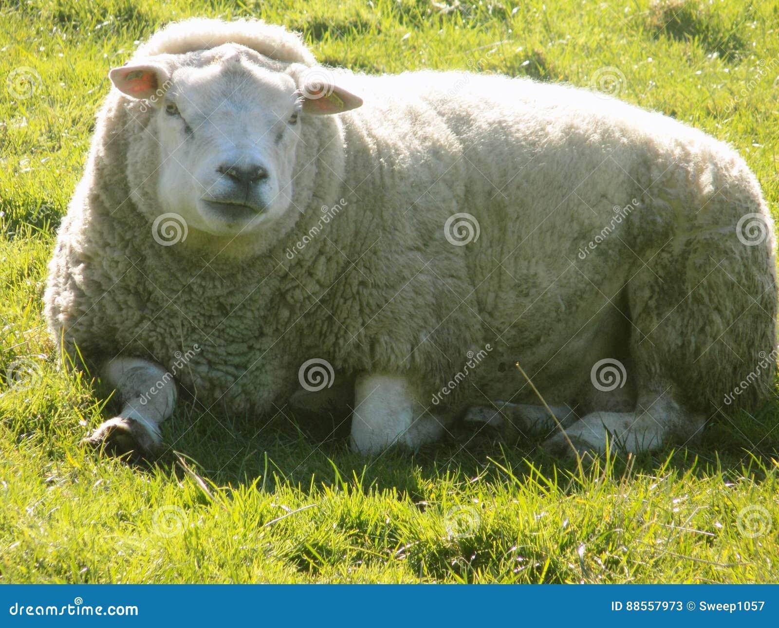 Pecore che si rilassano, Northumberland Regno Unito