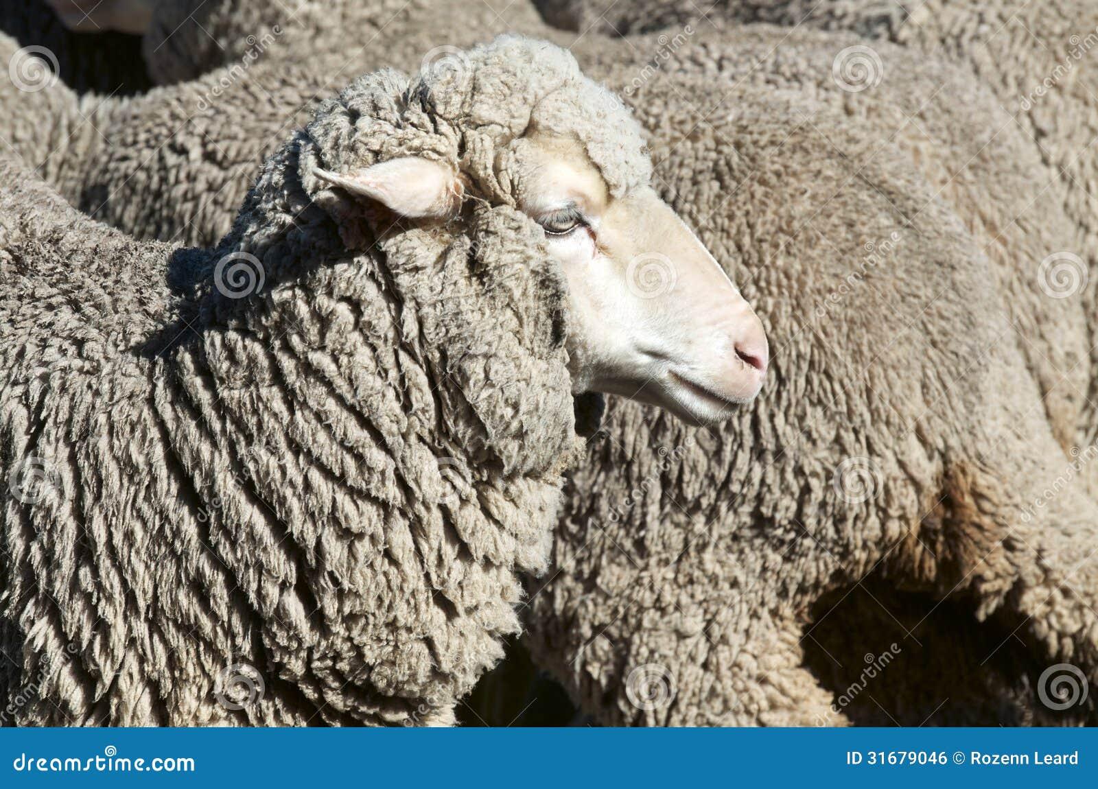 Pecore della pecora