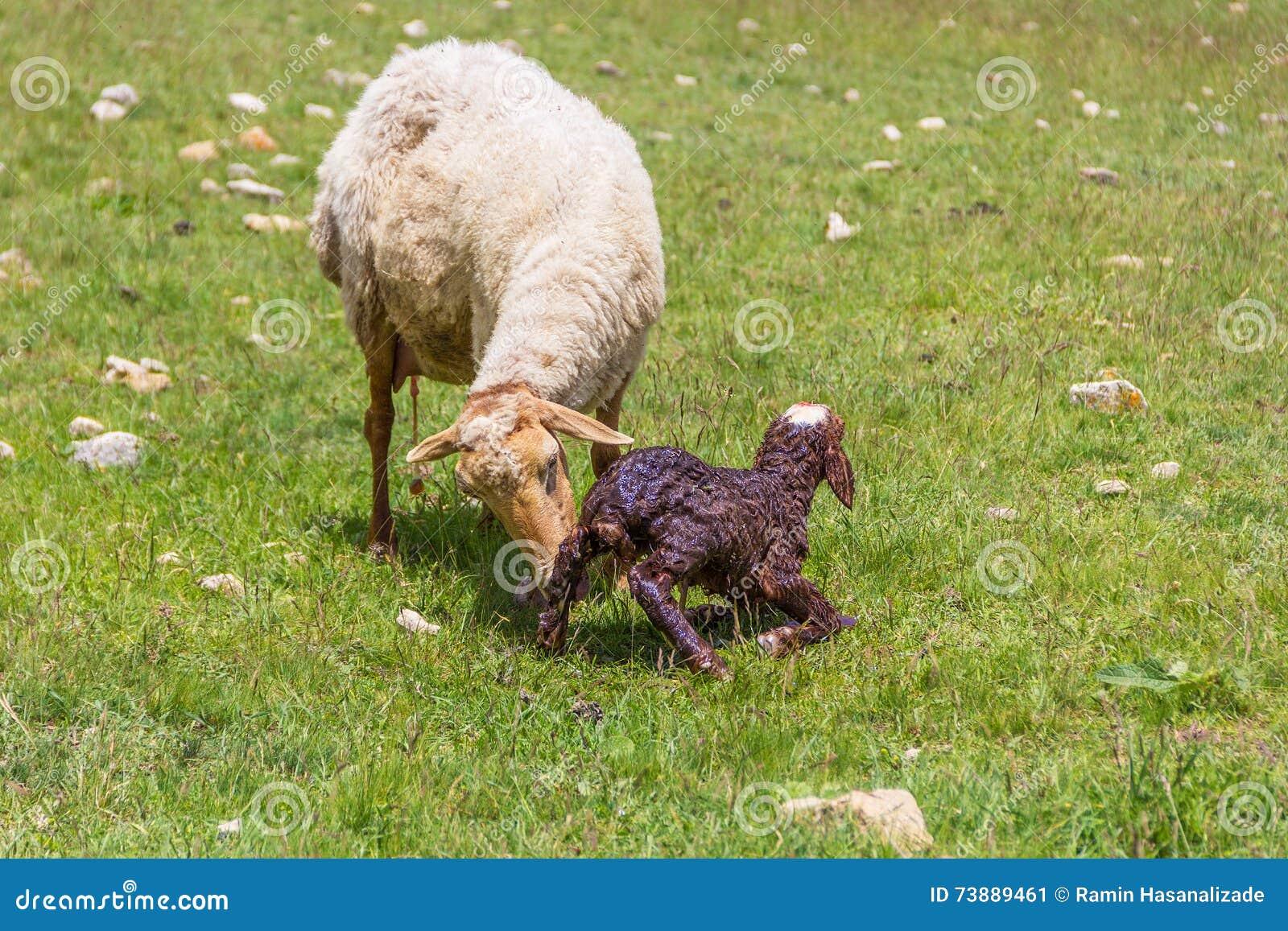 Pecore della pecora con l agnello neonato