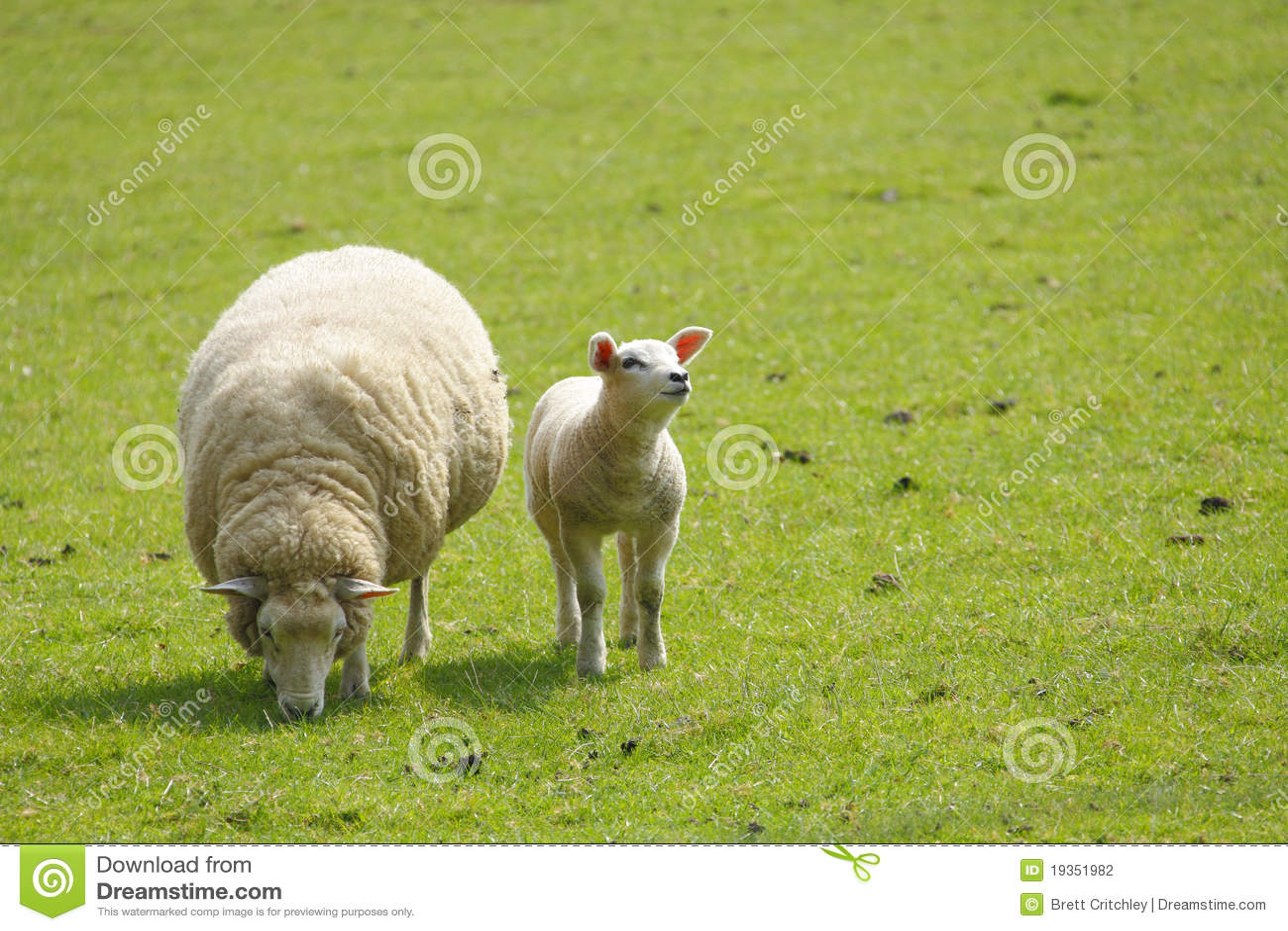Pecore della pecora e dell agnello