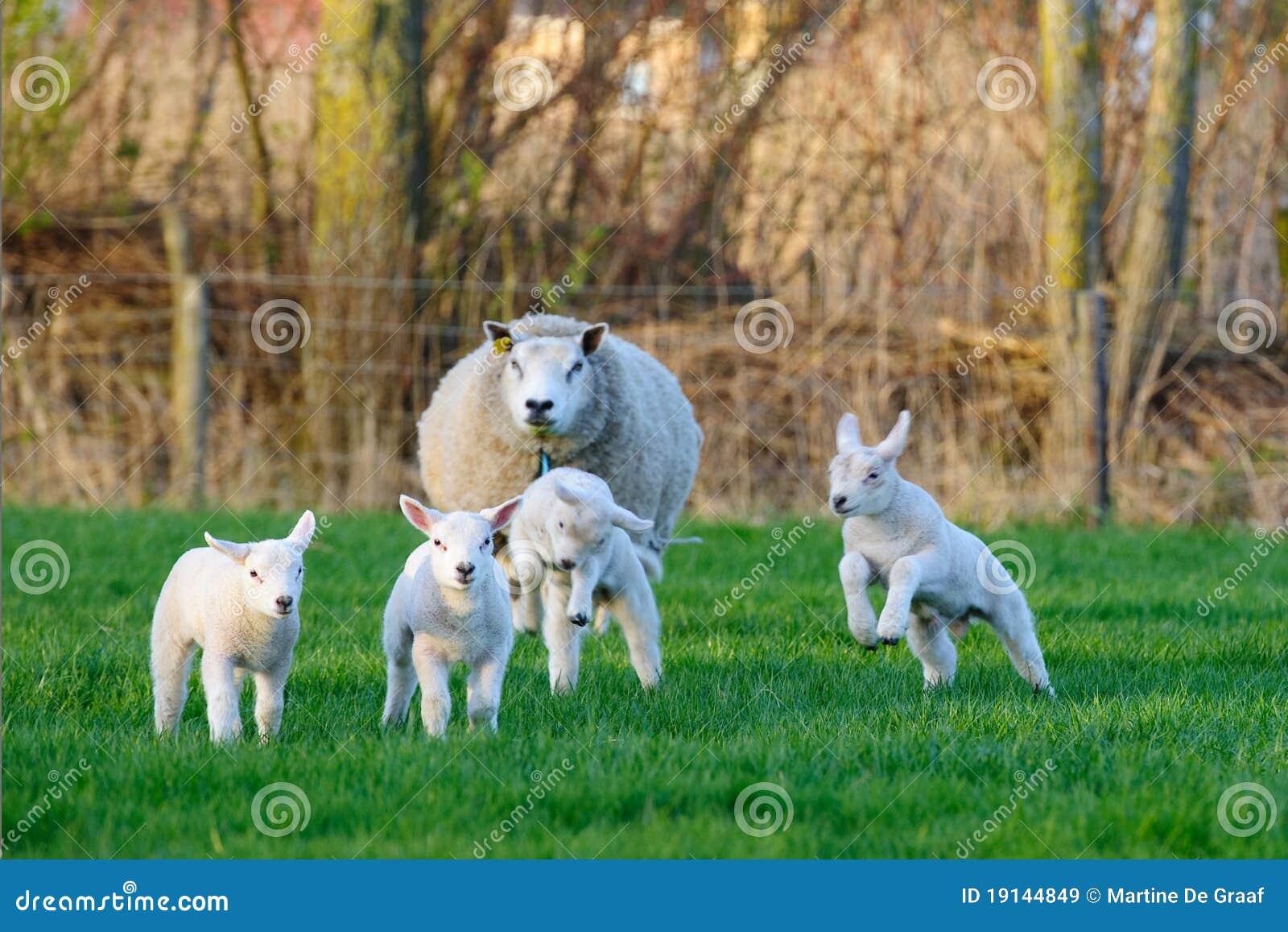 Pecore della sorgente