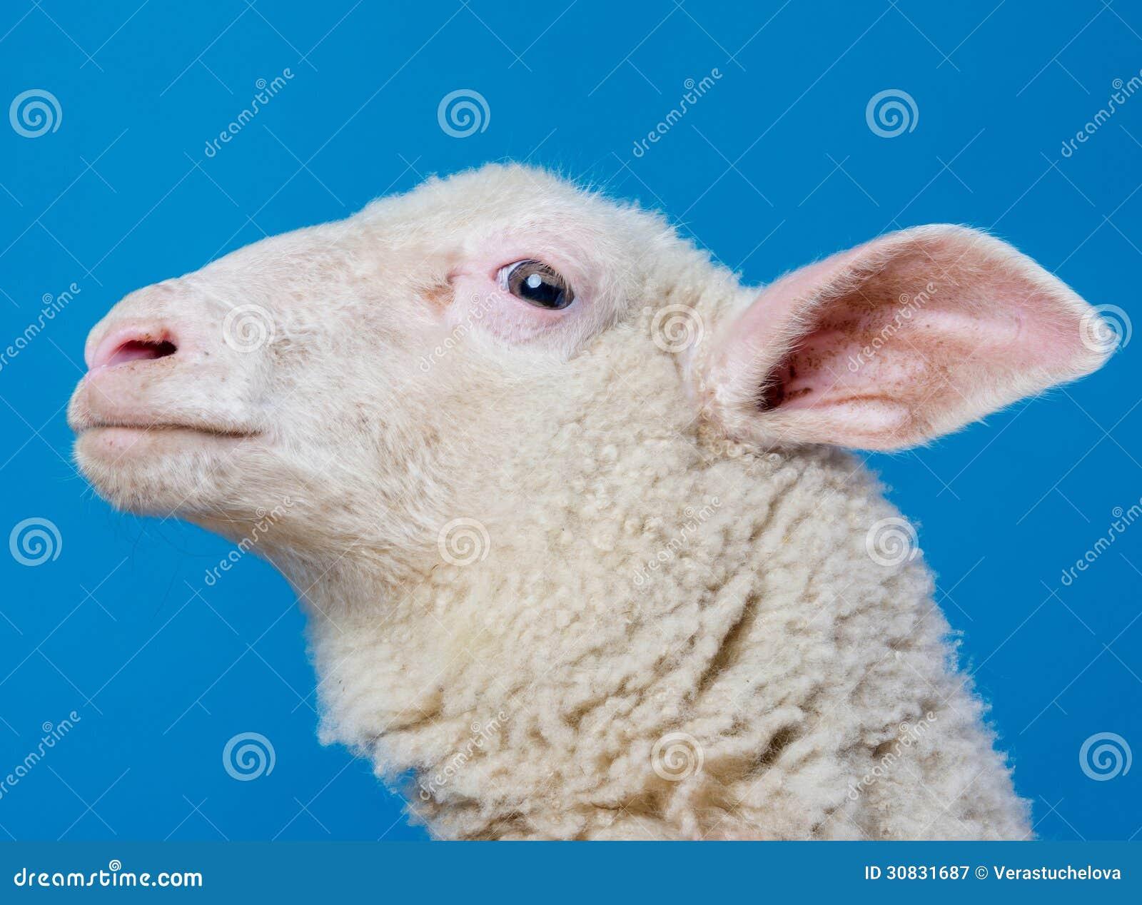 Pecore di Youg