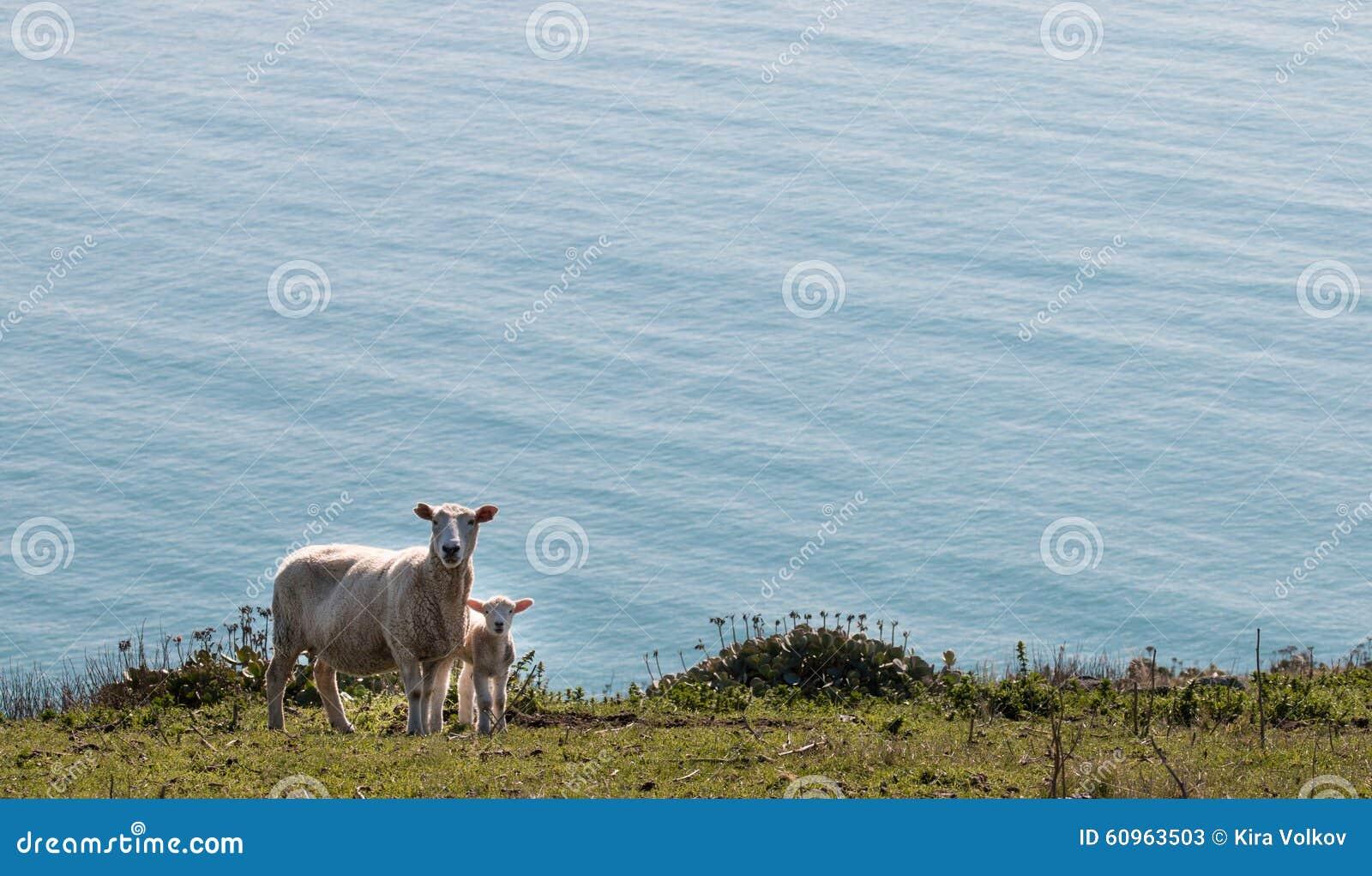 Pecore ed agnello che stanno su un pascolo
