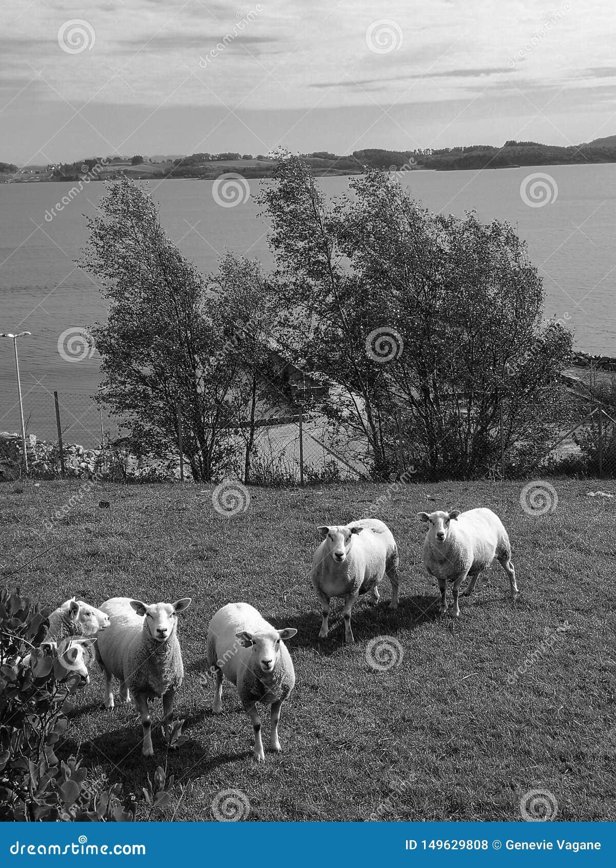 Pecore grasse in bianco e nero
