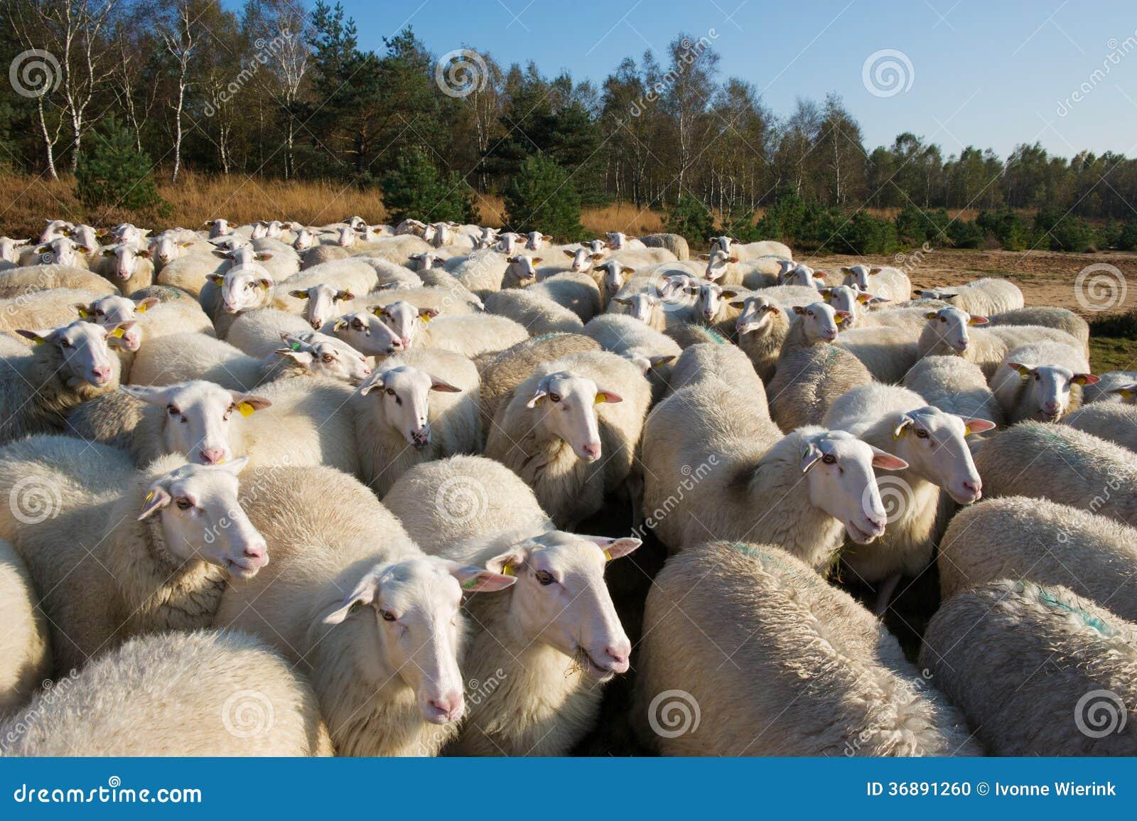 Download Pecore in Olanda fotografia stock. Immagine di moltitudine - 36891260