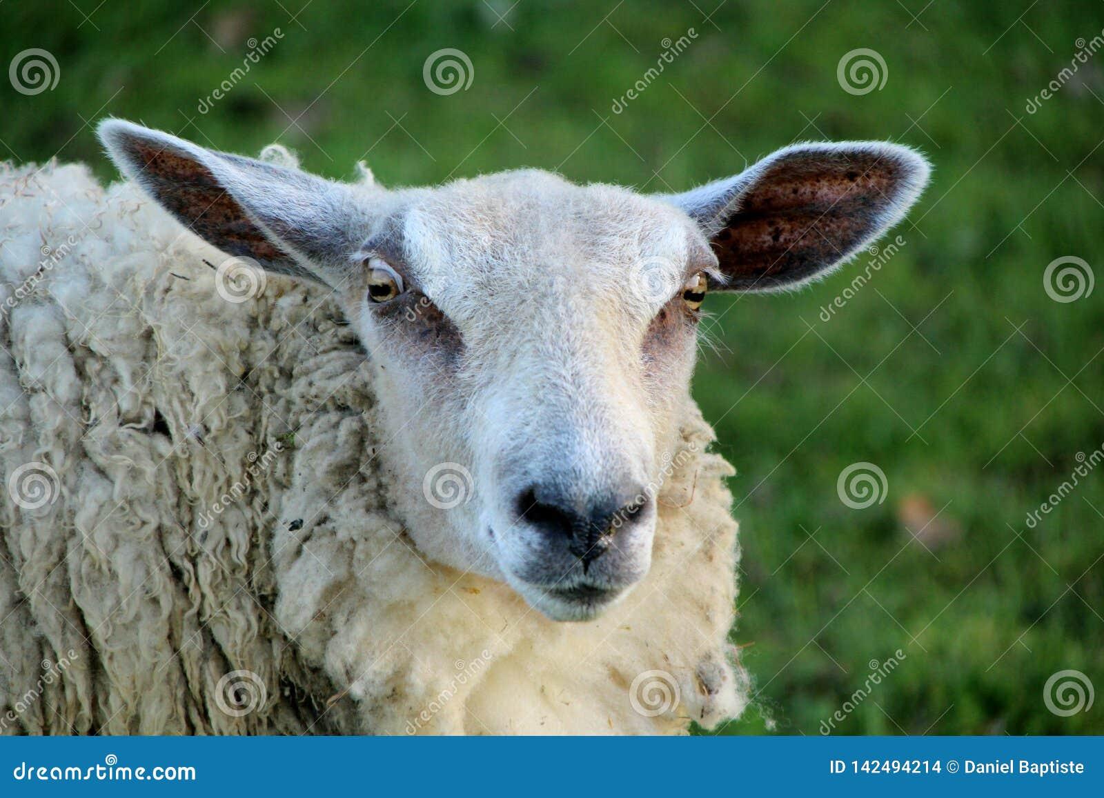 Pecore, primo piano su una pecora
