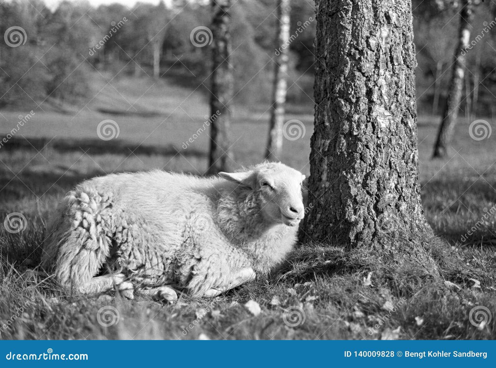 Pecore sorridenti che si rilassano nel colpo sole- con il film analogico