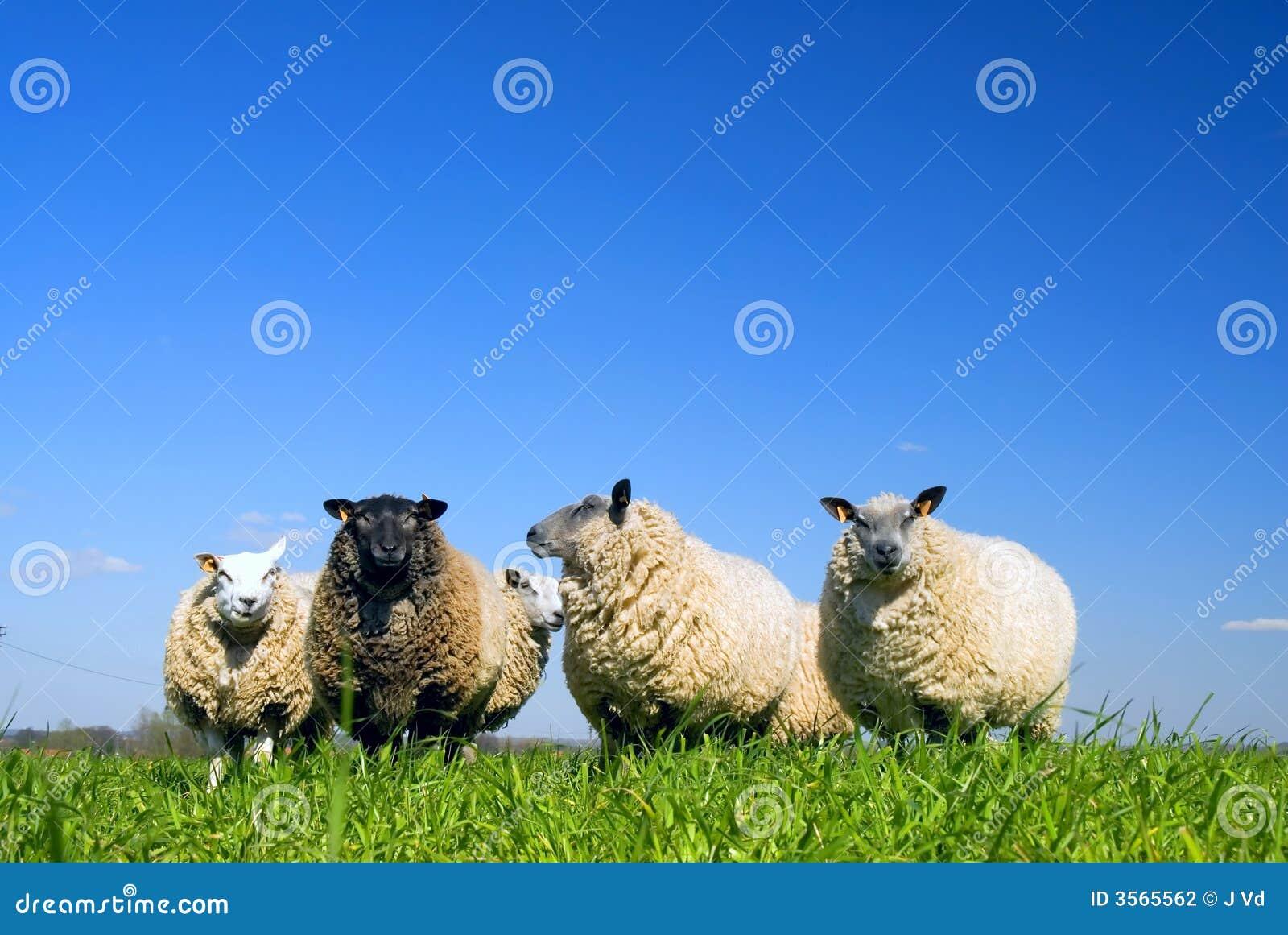 Pecore su erba