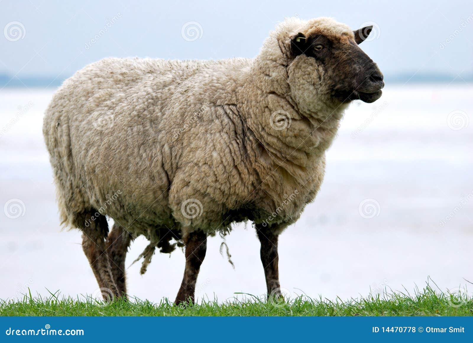Pecore su una diga
