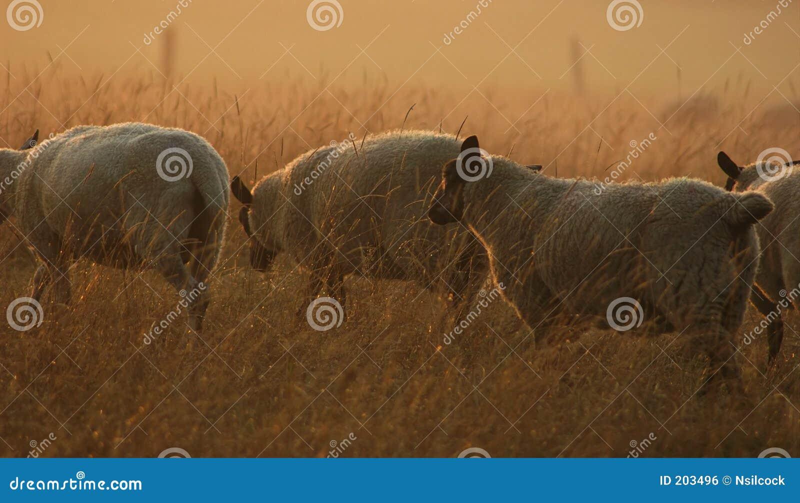 Pecore sul movimento
