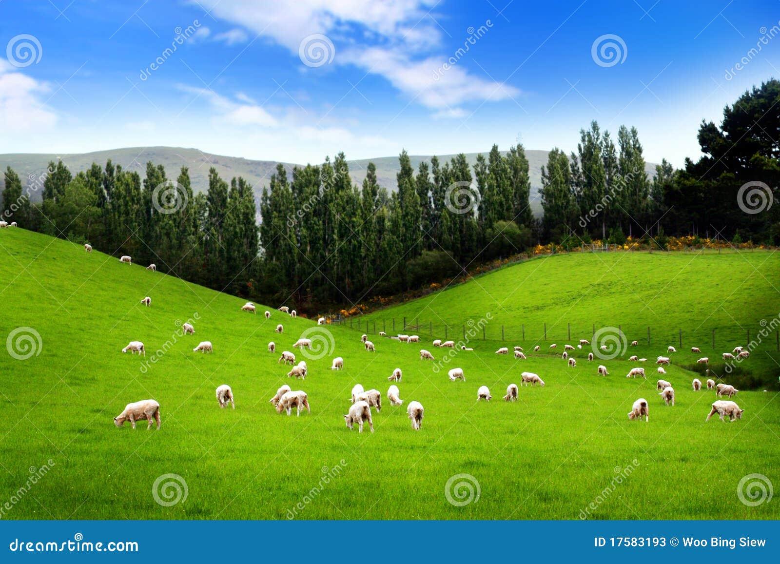 Pecore sul prato