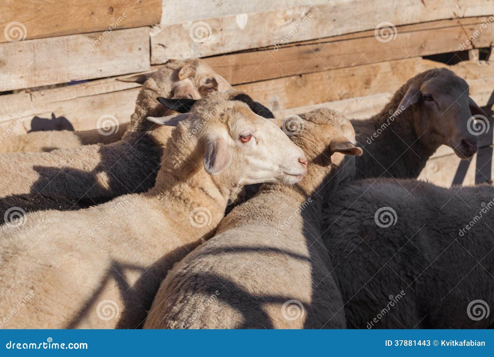Pecore sull azienda agricola
