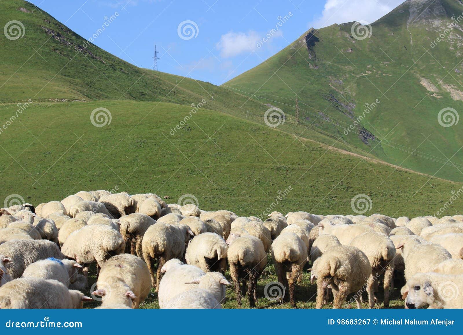 Pecore sulle montagne
