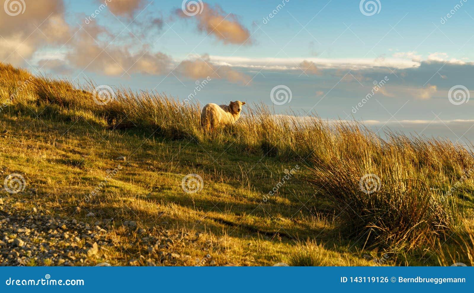 Pecore vicino a Treorchy, trascurante la valle di Ogmore, Rhondda Cynon Taf, Mid Glamorgan, Galles, Regno Unito