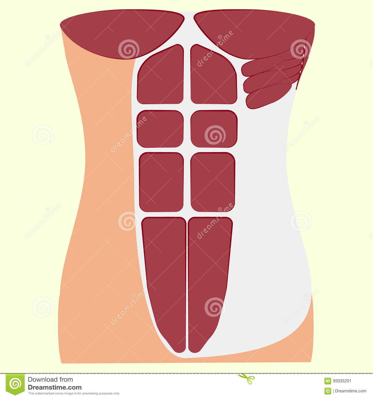 Pectoralis Major Muscle, Muscles Of Chest, Stock Vector ...